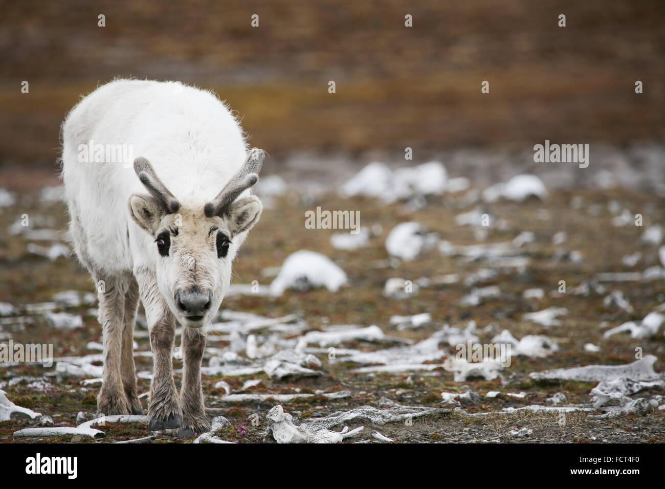 Svalbard, Edgeoya, Kapp Lee. Svalbard-Rentiere in der Tundra der alten Walross-Knochen, in der Nähe von alten Stockbild