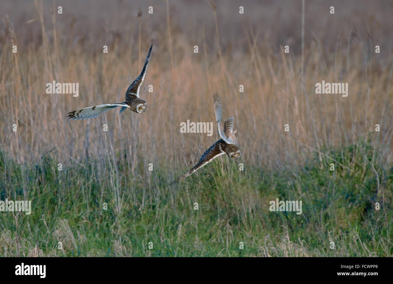 Paar von Short-eared Eulen-Asio Flammeus Flug über Gebiet. Winter. UK Stockbild