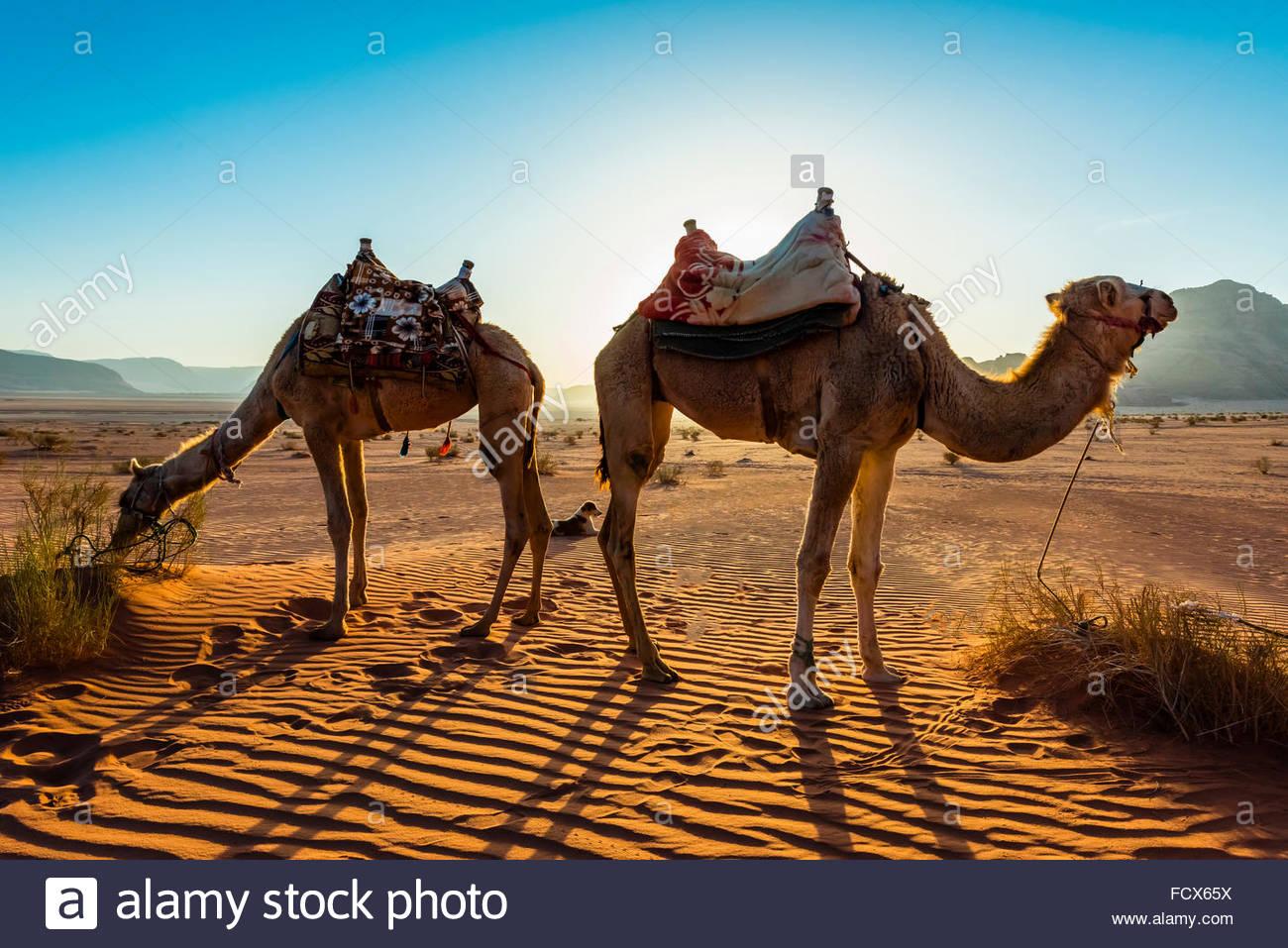 Kamele, Arabische Wüste, Wadi Rum, Jordanien. Stockfoto