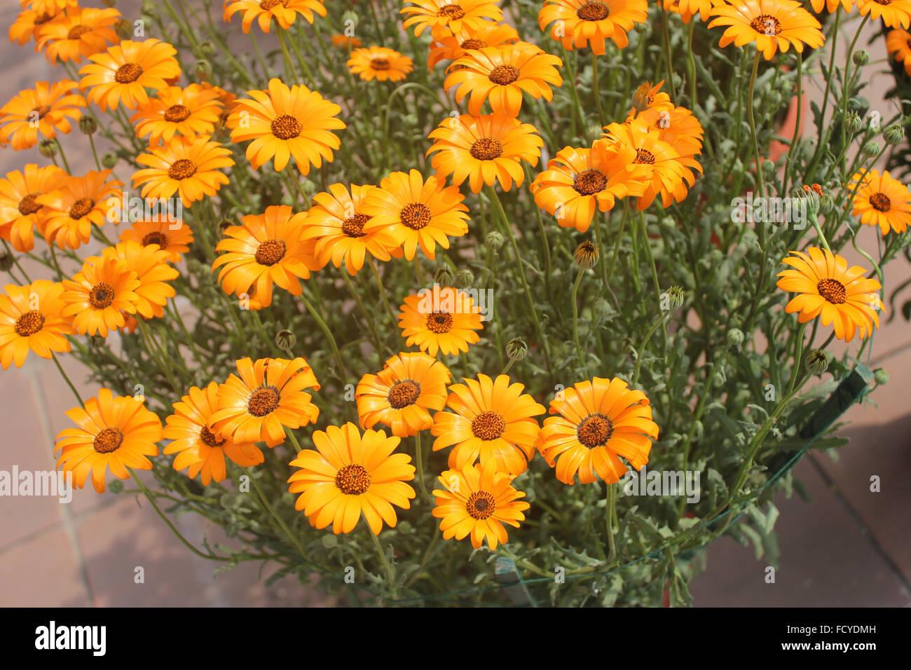 Dimorphotheca Sinuata, glanduläre Cape Marigold, jährliche ornamentalen Kraut mit orange Strahlen Köpfe mit dunkler Stockfoto