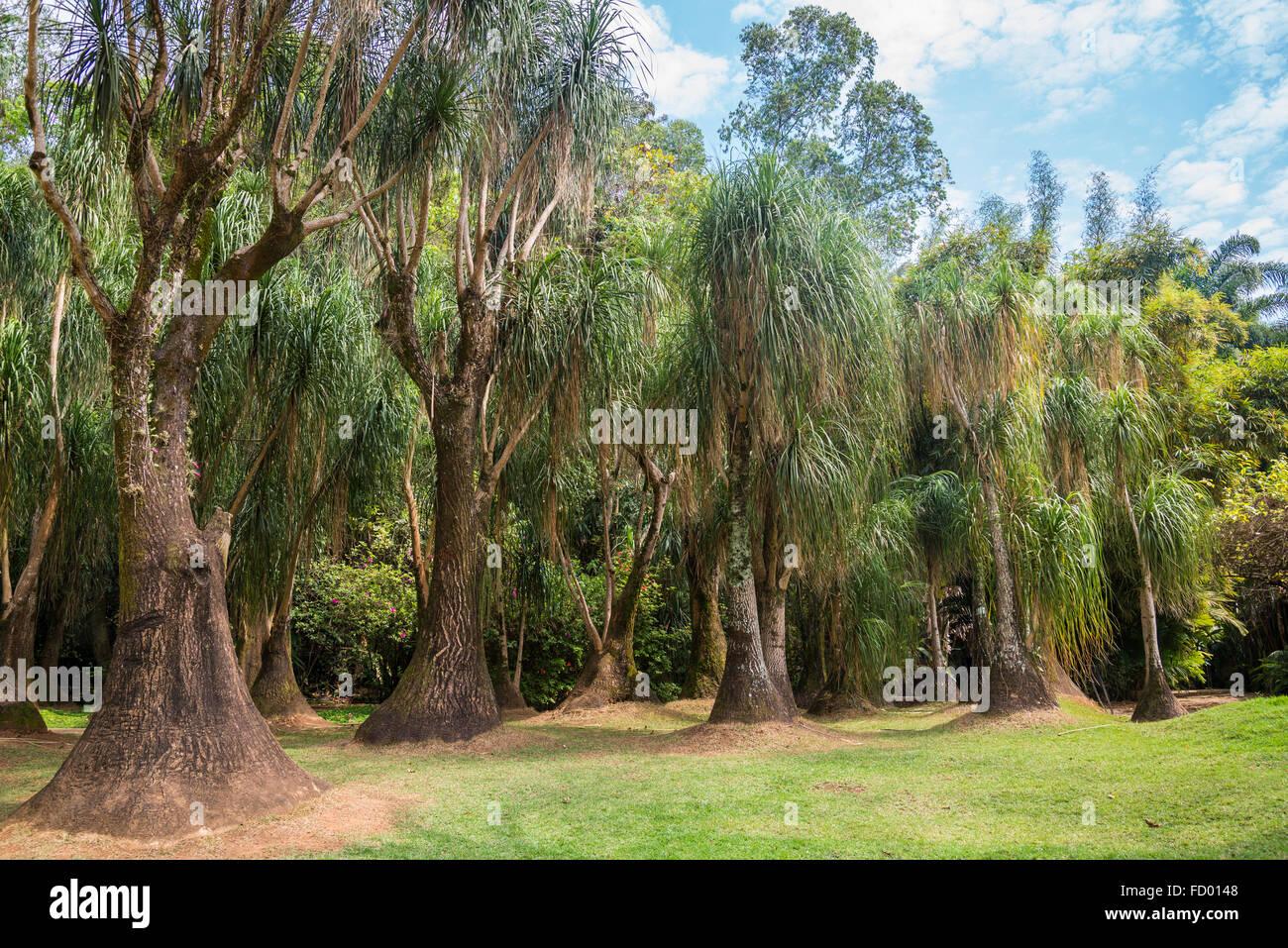 Beaucarnea Recurvata - der Elefantenfuß, Pferdeschwanz Palm, Inhotim Botanischer Garten und Museum für Stockbild