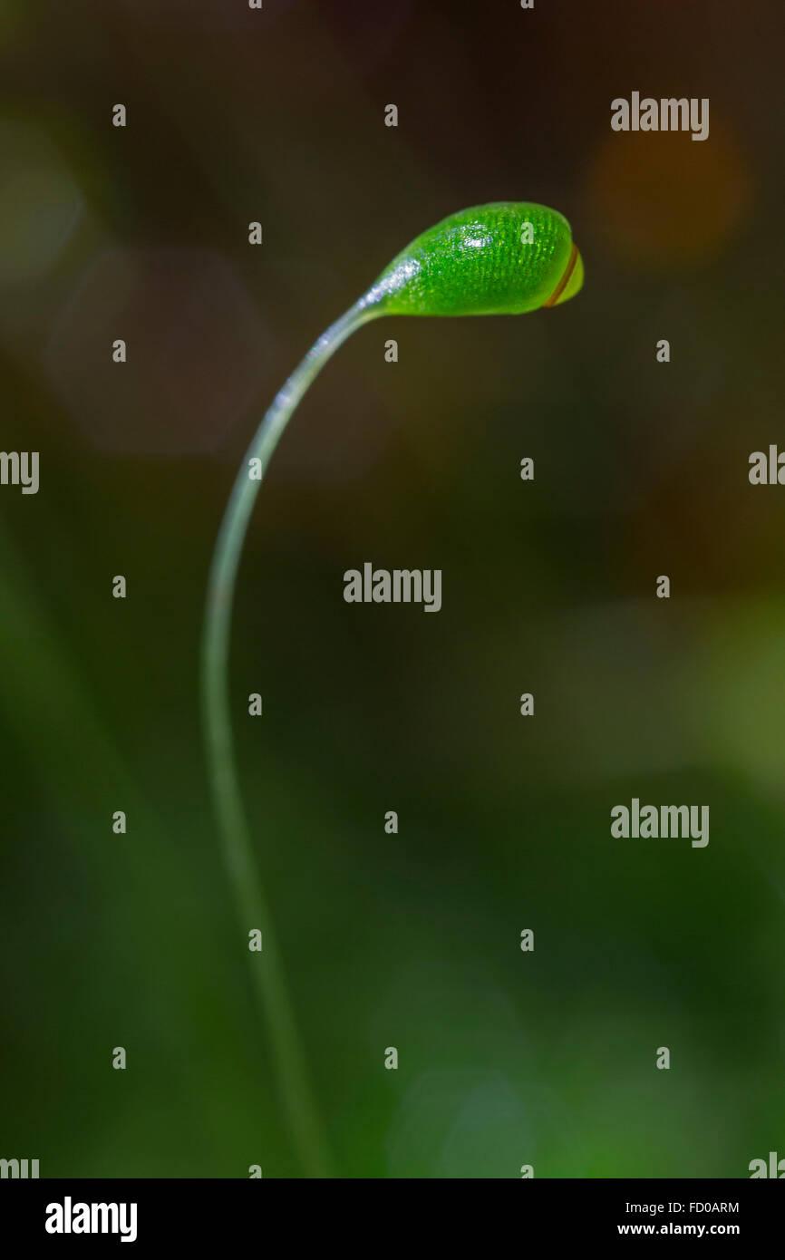 Kapillare Gewinde-Moos (Bryum Capillare) Großaufnahme der Kapsel Stockbild
