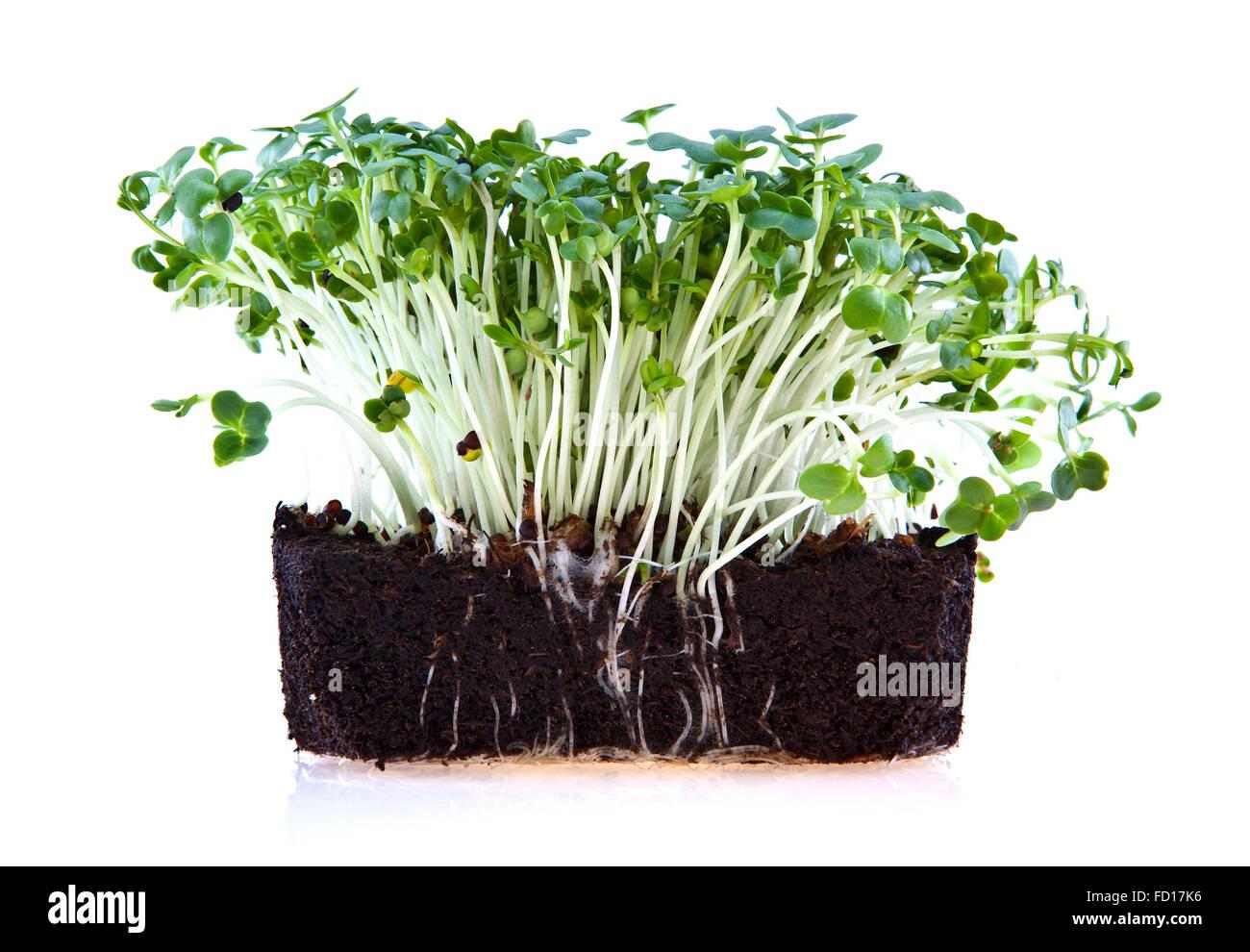 Frische Gartenkresse isoliert auf weißem Hintergrund Stockbild