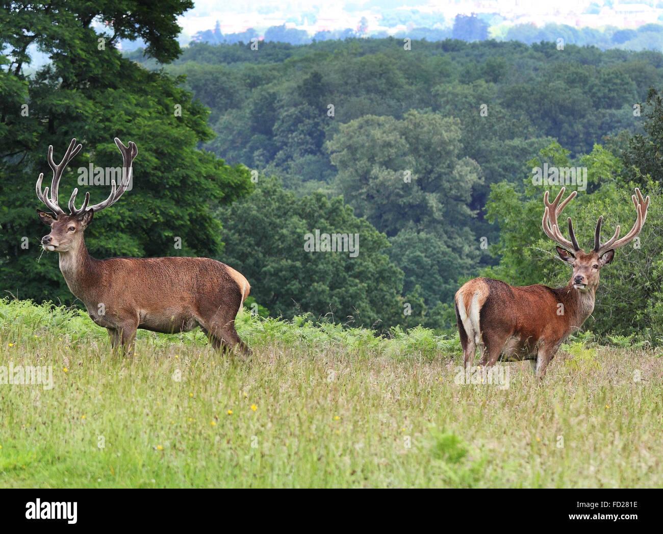 Paar von wachsamen Rotwild Hirsch stehend auf einer Wiese (Cervus Elaphus) Stockbild
