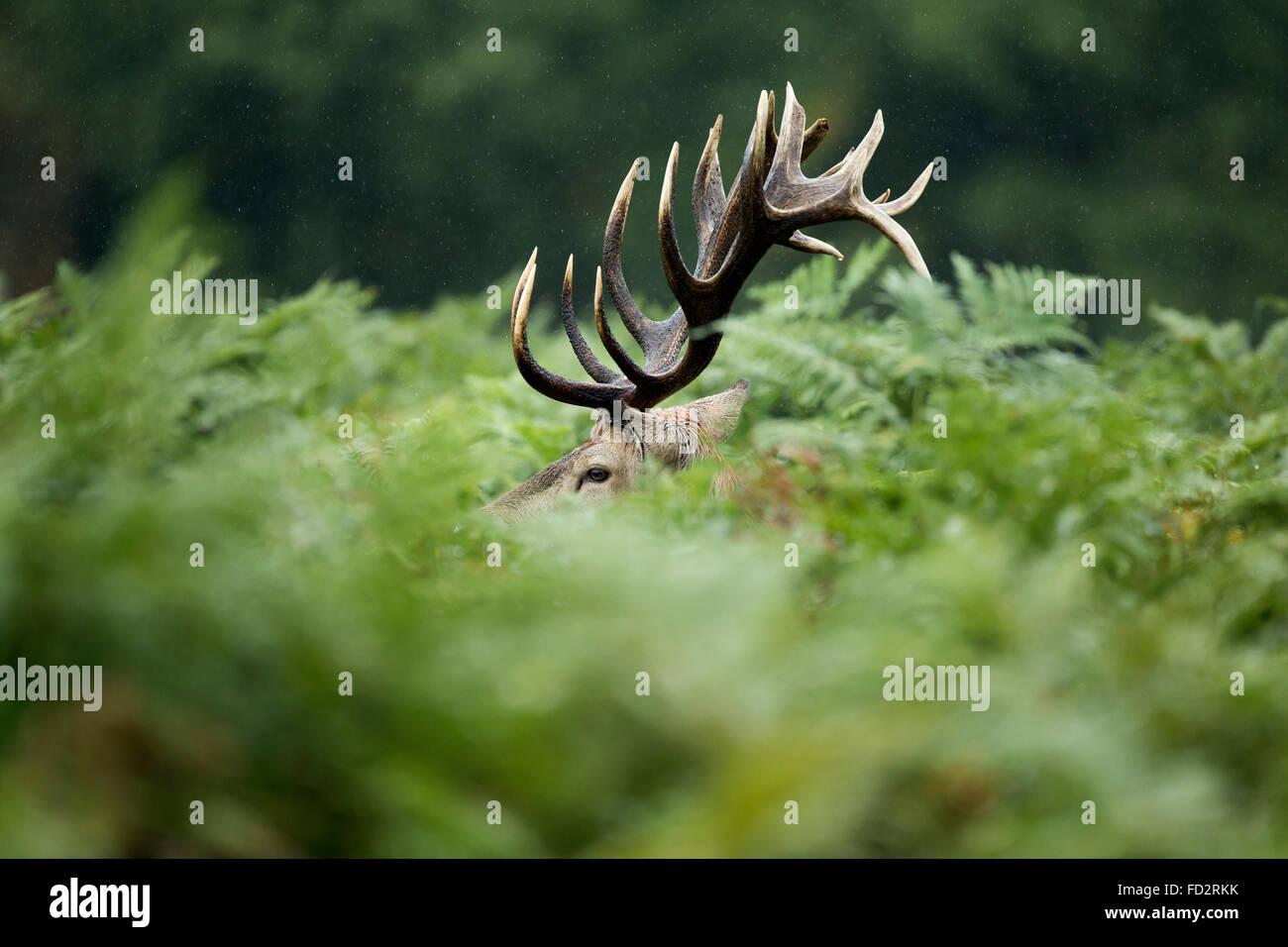 Rothirsch (Cervus Elaphus) Hirsch im Bracken während der Brunftzeit Stockbild