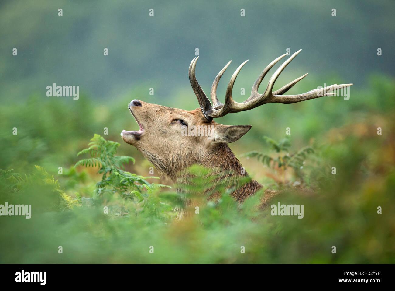 Rothirsch (Cervus Elaphus) Hirsch brüllen im Bracken während der Brunftzeit Stockbild