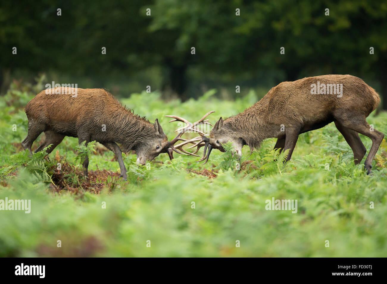 Rothirsch (Cervus Elaphus) Junggesellen Schlacht während der Brunftzeit Saison Stockbild