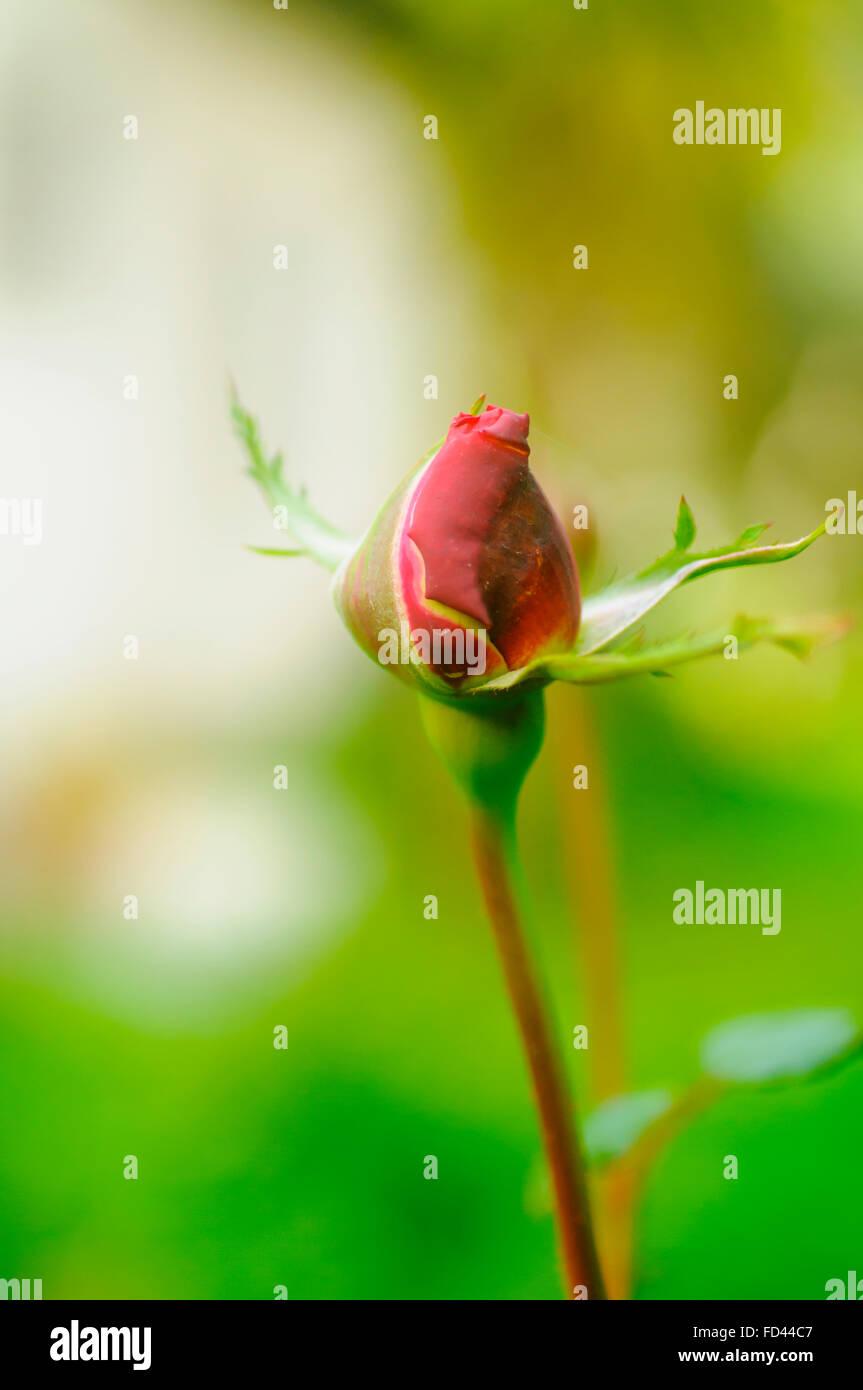 Perfekte rote Rose Knospe mit üppigen grünen Hintergrund Stockbild