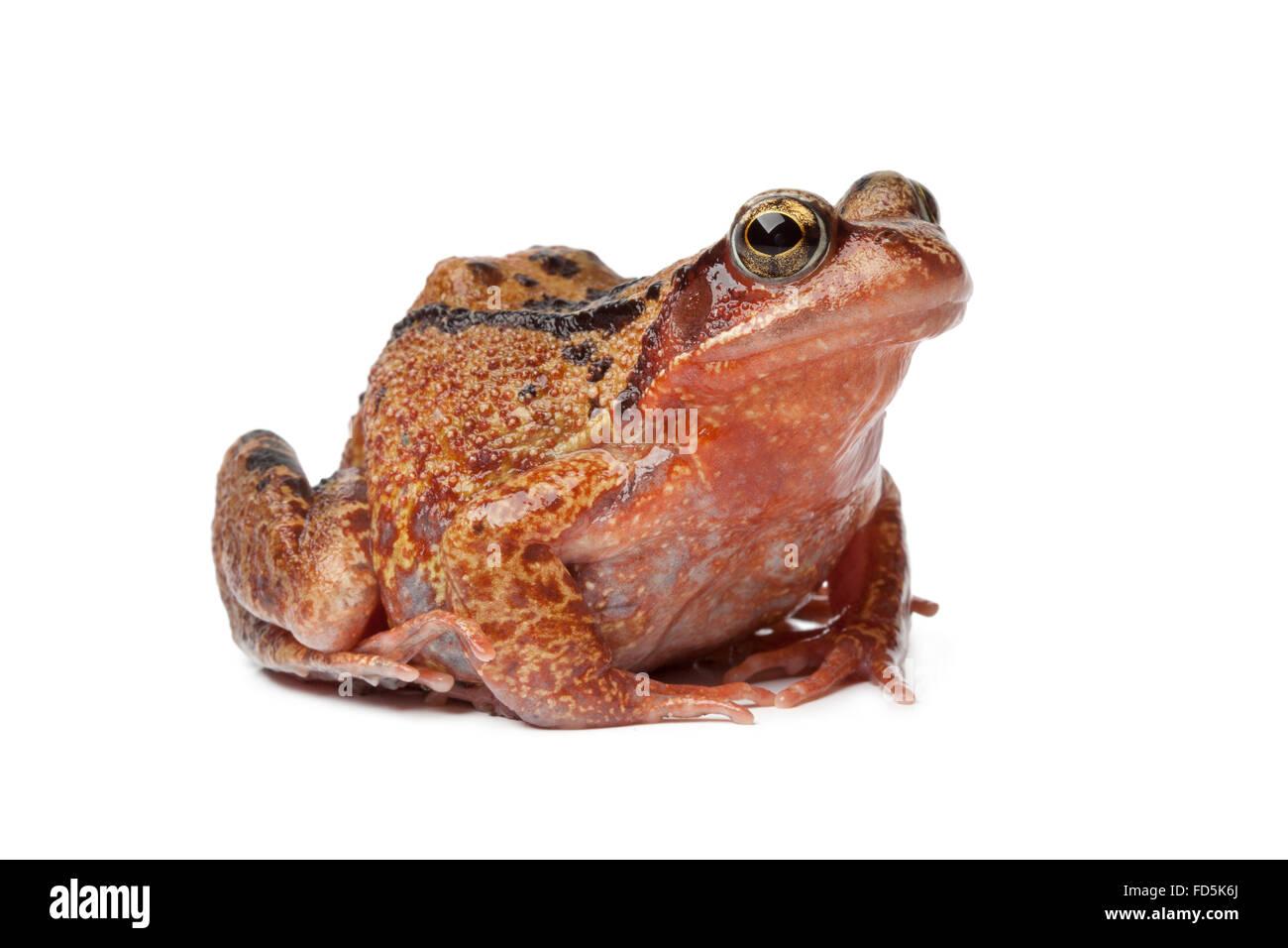 Einzelne brauner Frosch auf weißem Hintergrund Stockbild