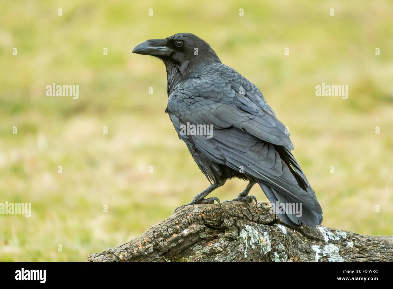 Raven (Corvus Corax) Stockbild