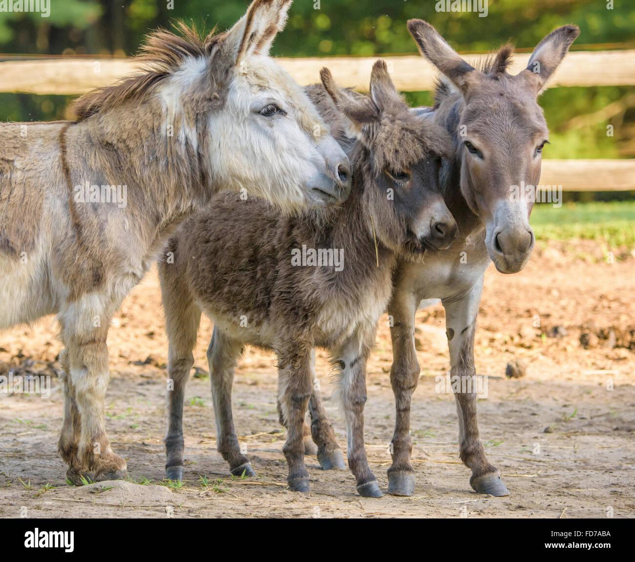 Jack Donkey Stockfotos Jack Donkey Bilder Alamy