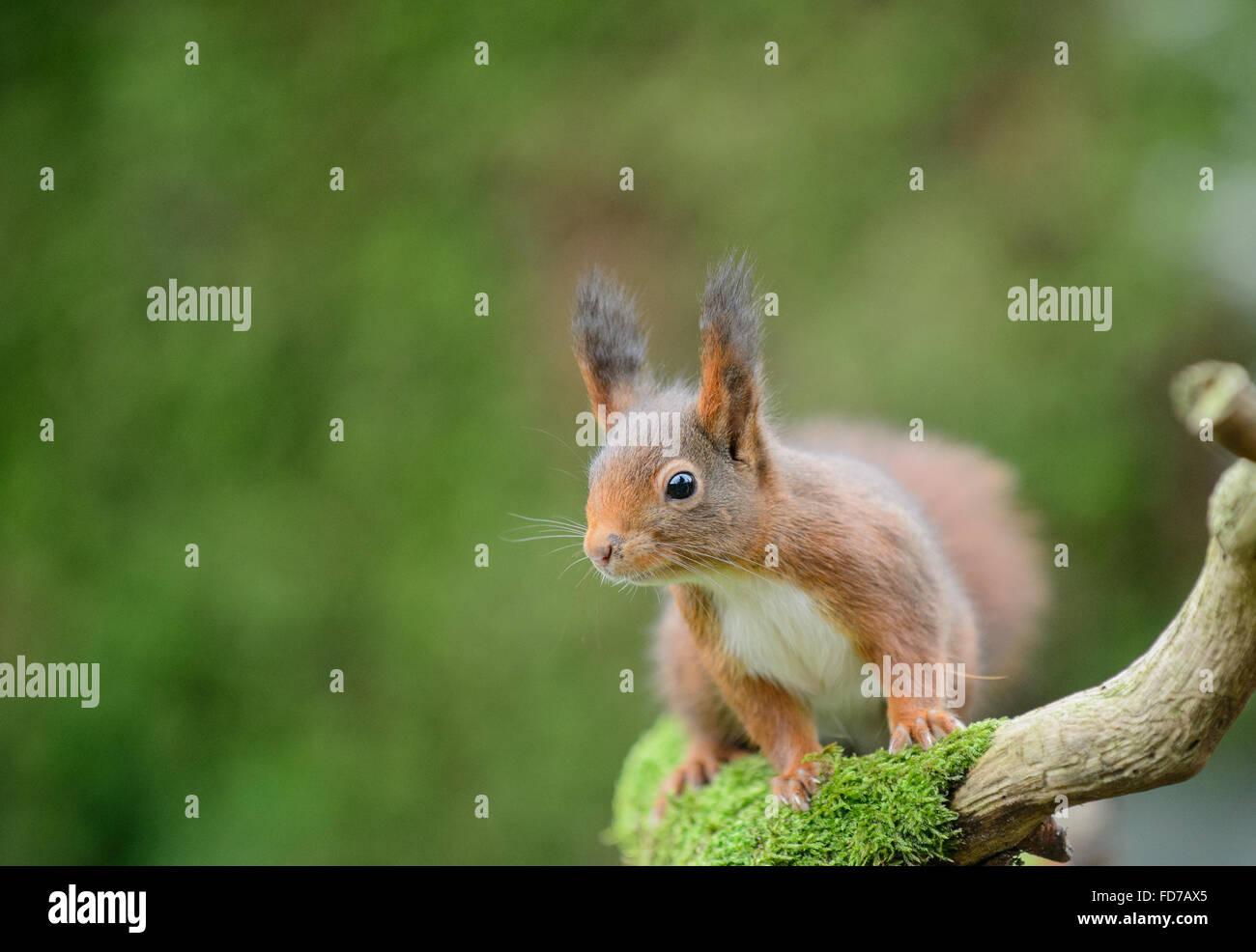 Eichhörnchen mit großen Ohr tufts Stockbild