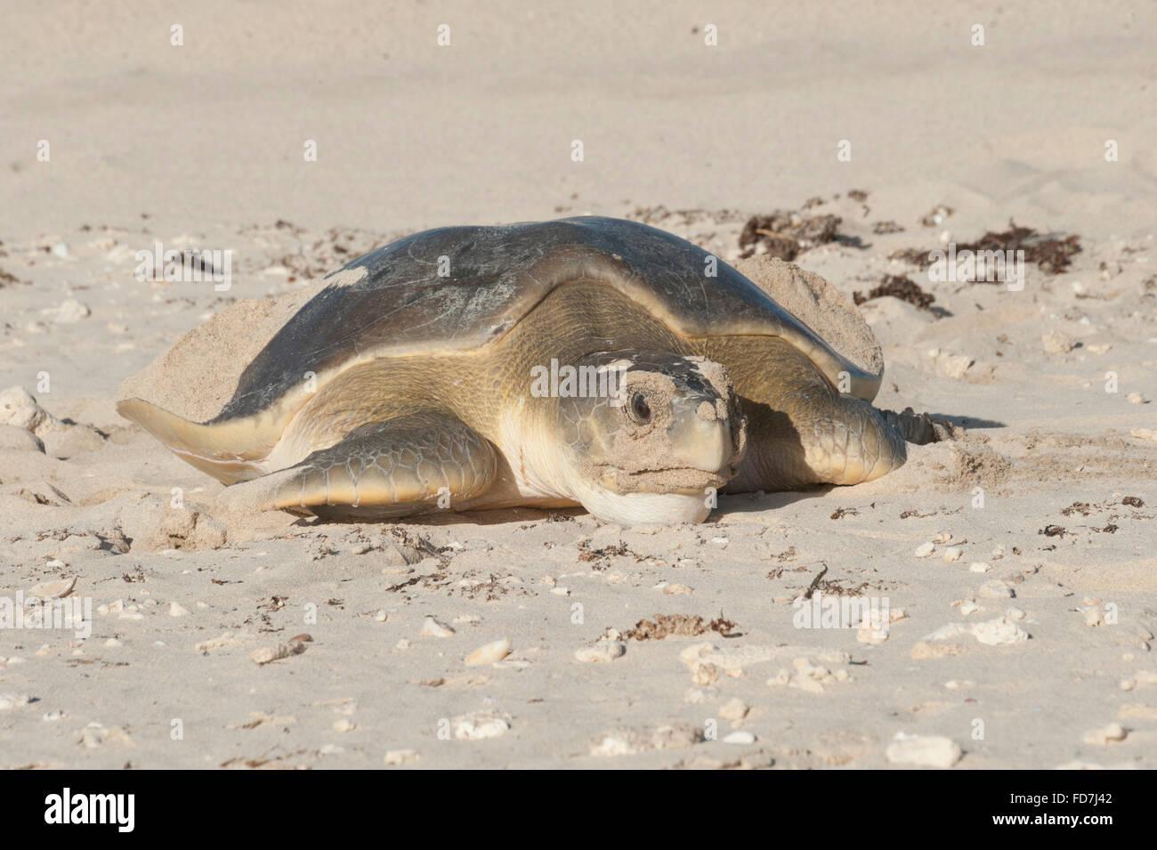 Australische Flatback-Schildkröte (Natator Depressus), endemisch, Weiblich, die Rückkehr zum Meer nach Stockbild
