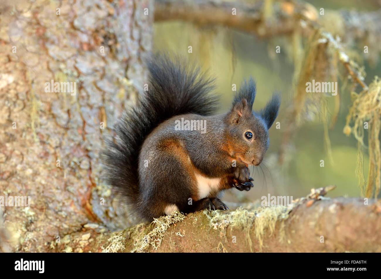 Eichhörnchen (Sciurus Vulgaris) sitzend auf Ast, Kanton Graubünden, Schweiz Stockbild