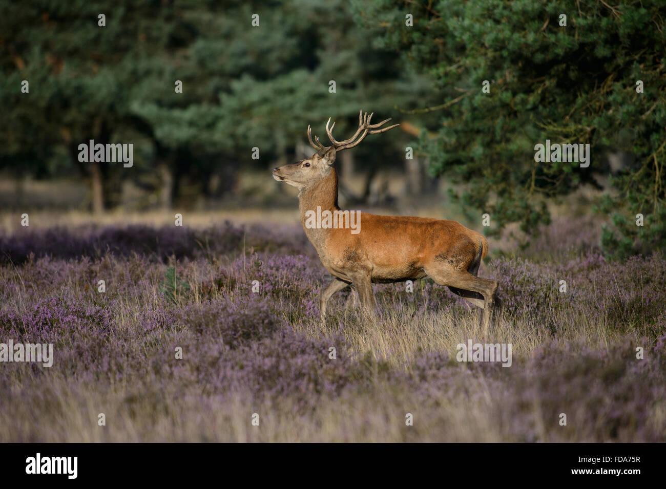 Der rote Hirsch mit kleinen Geweih in einem Feld mit Blüte lila Heidekraut Stockbild