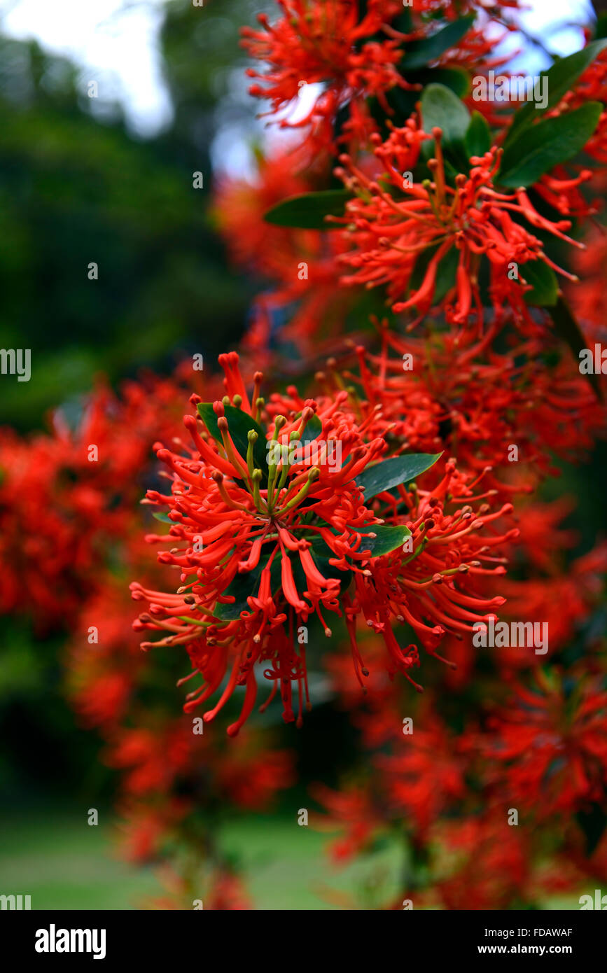 embothrium coccineum chliean feuer busch rot orange blumen blume bl te strauch str ucher baum. Black Bedroom Furniture Sets. Home Design Ideas