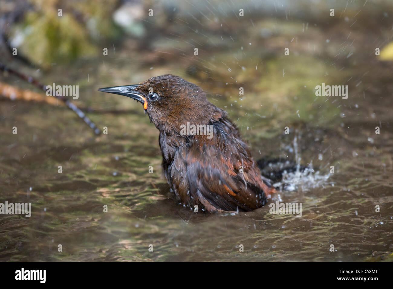 Neuseeland, Marlborough Sounds, Motuara Island aka Motu Ara. Raubtier-freie Insel Vogelschutzgebiet. Weibliche Südinsel Saddleback. Stockfoto