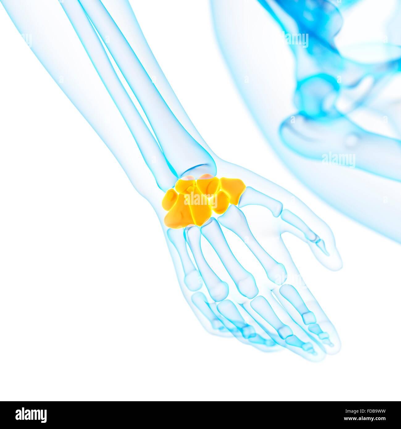 Tolle Handgelenkknochen Bilder - Menschliche Anatomie Bilder ...