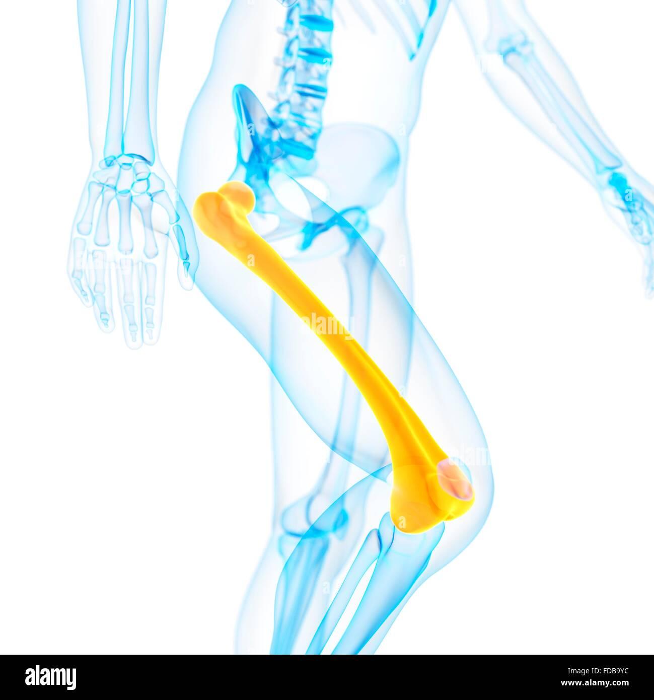 Beste Wo Der Oberschenkelknochen Im Menschlichen Körper Befindet ...