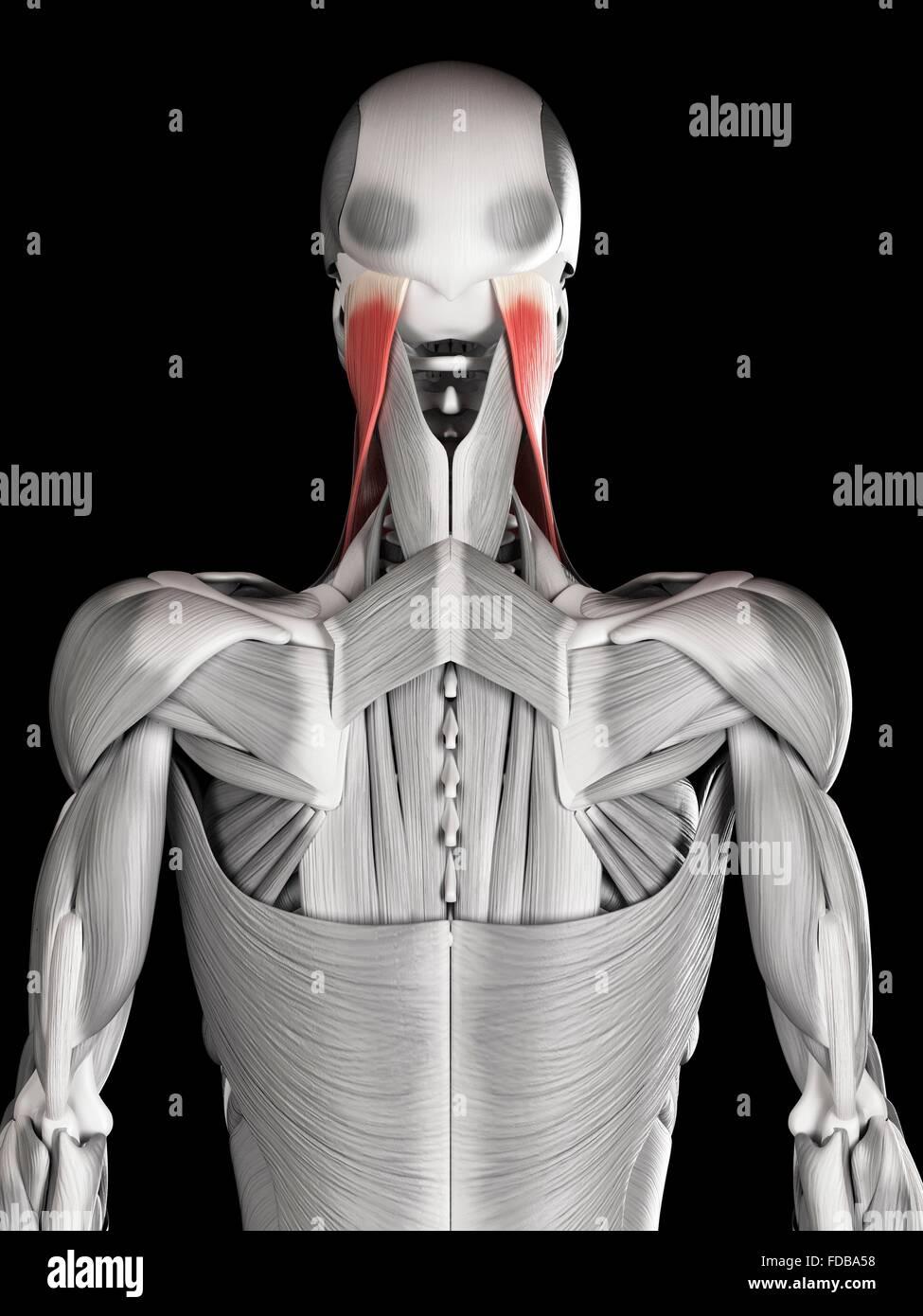 Atemberaubend Diagramm Der Nackenmuskulatur Bilder - Menschliche ...