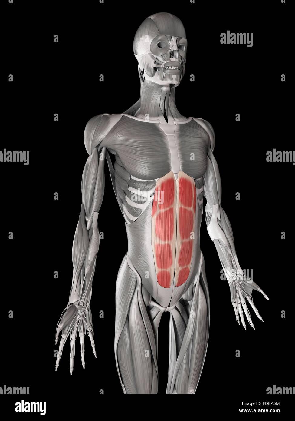 Menschlichen Bauchmuskulatur (Rectus Abdominis), Illustration ...