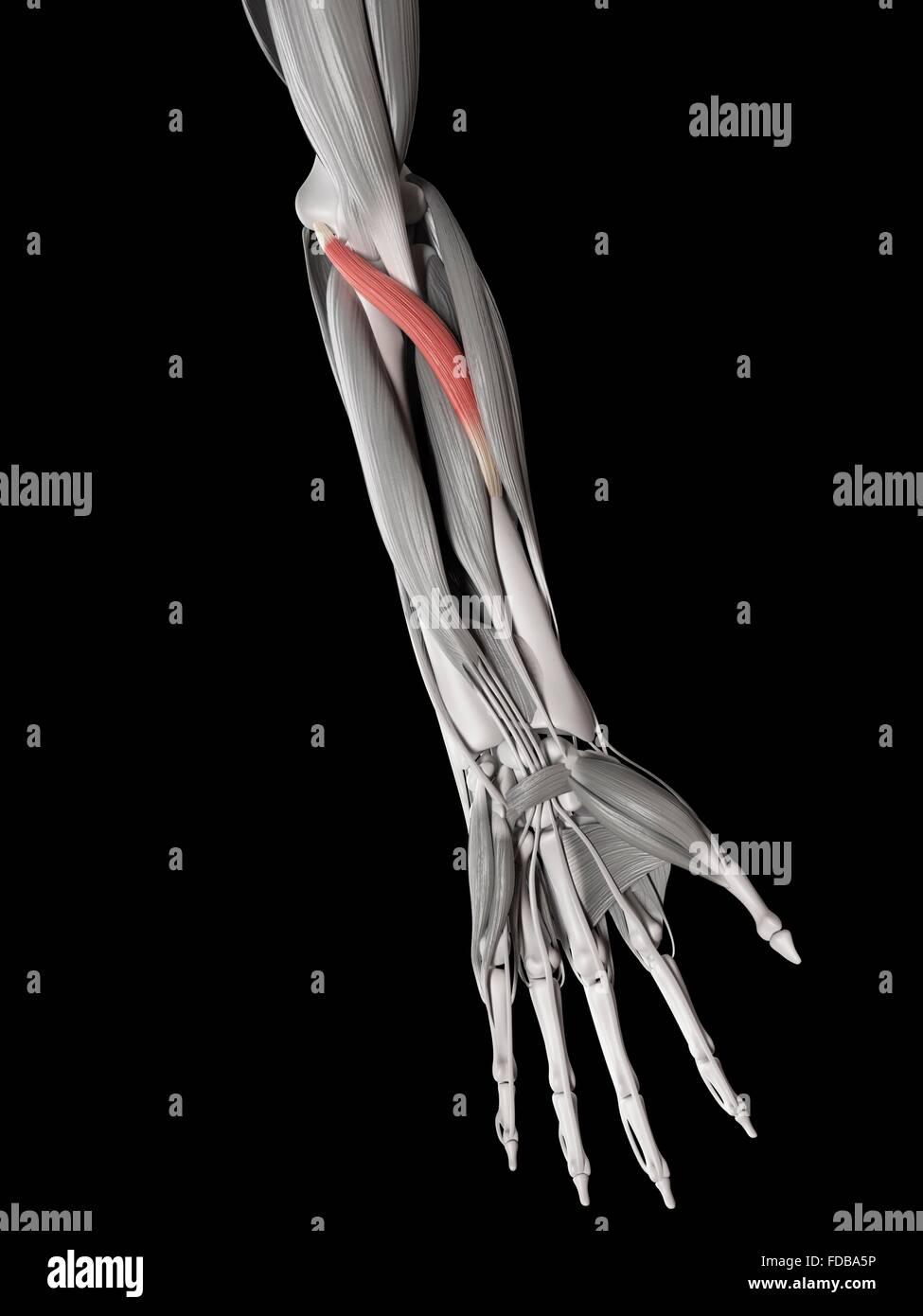 Menschlicher Arm Muskel (Pronator Teres), Illustration Stockfoto ...