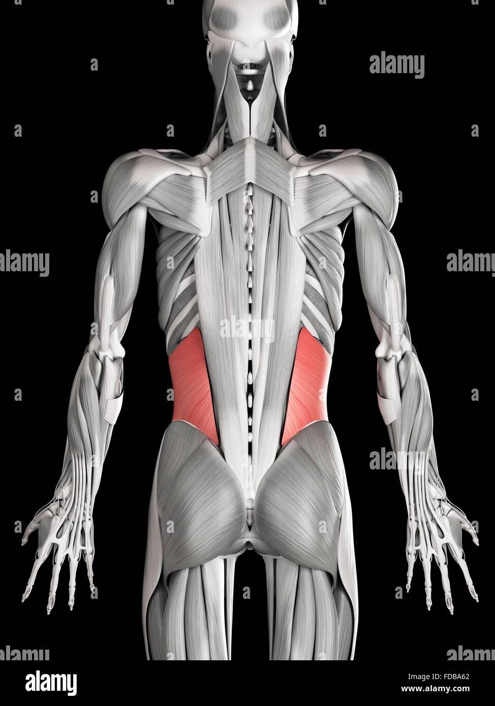 Menschlichen Bauchmuskeln (interne schräg), Illustration Stockfoto ...