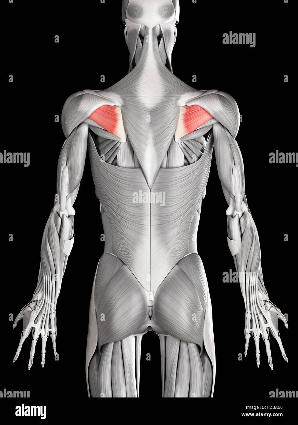 Tolle Muskeln Im Rücken Diagramm Ideen - Menschliche Anatomie Bilder ...