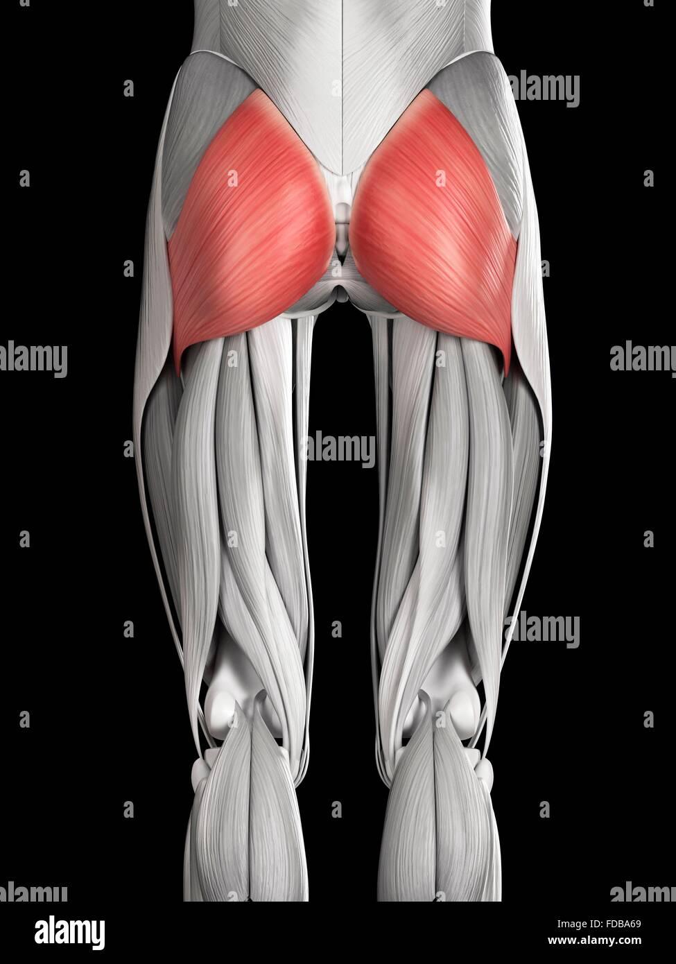 Menschlichen Gesäßmuskeln (Gluteus Maximus), Illustration Stockfoto ...