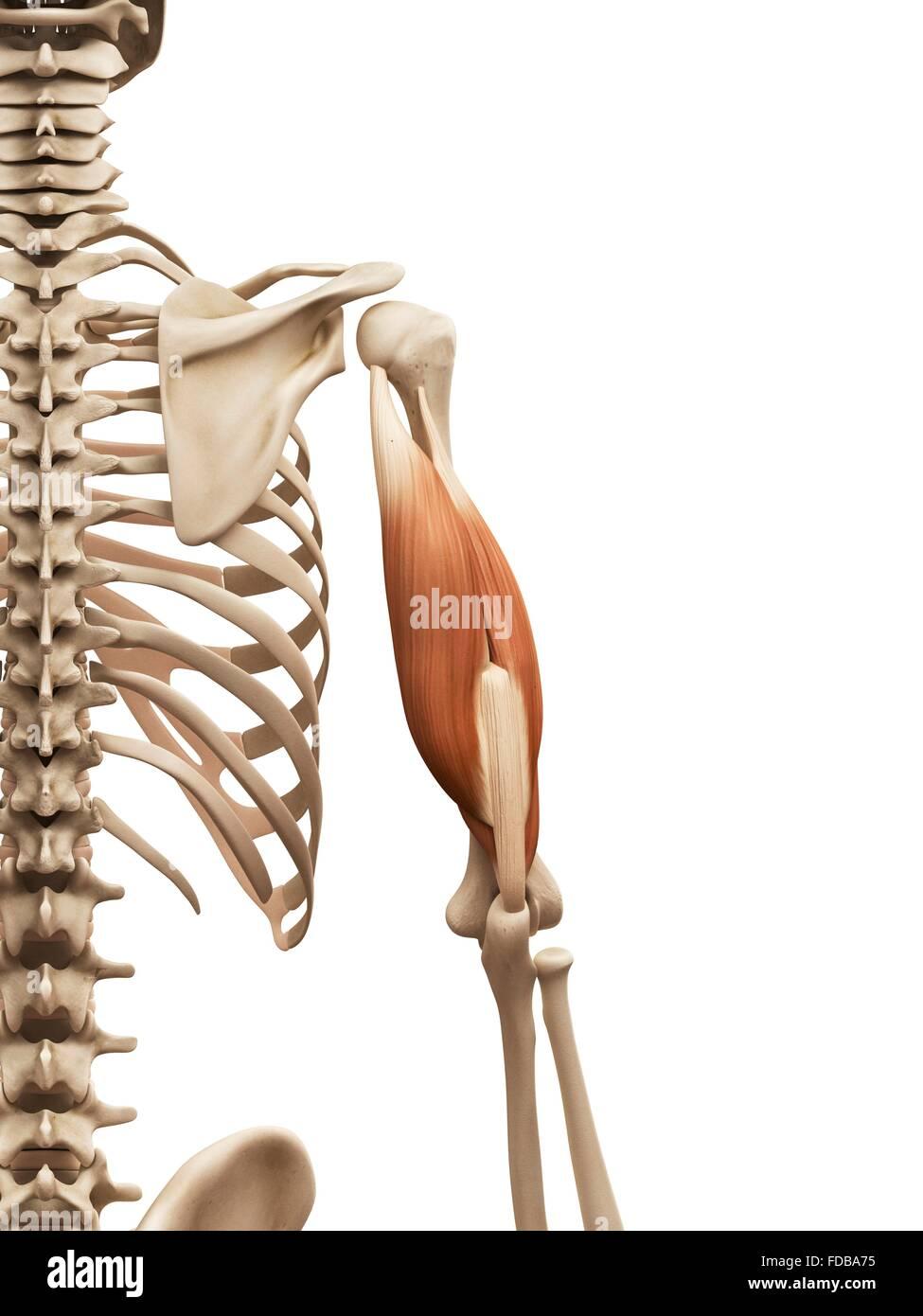 Menschlichen Armmuskulatur (Trizeps), Illustration Stockfoto, Bild ...