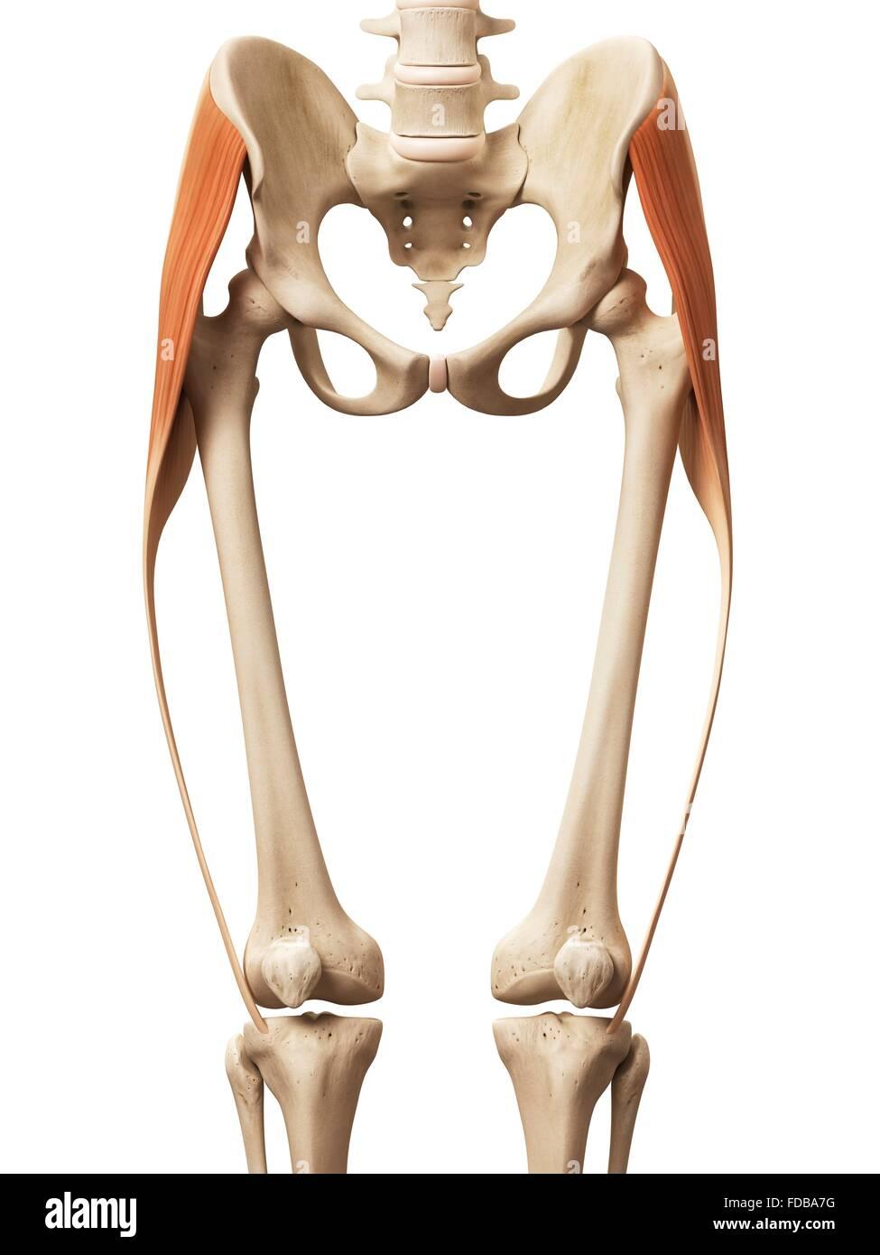 Menschliches Beinmuskeln (Tensor Fascia Lata), Illustration ...