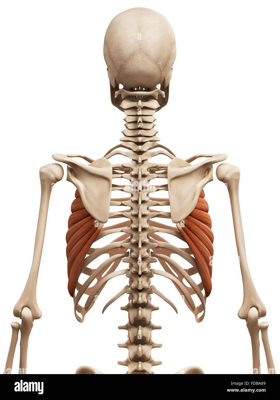 Menschliche Muskeln (Serratus anterior), Illustration Stockfoto ...