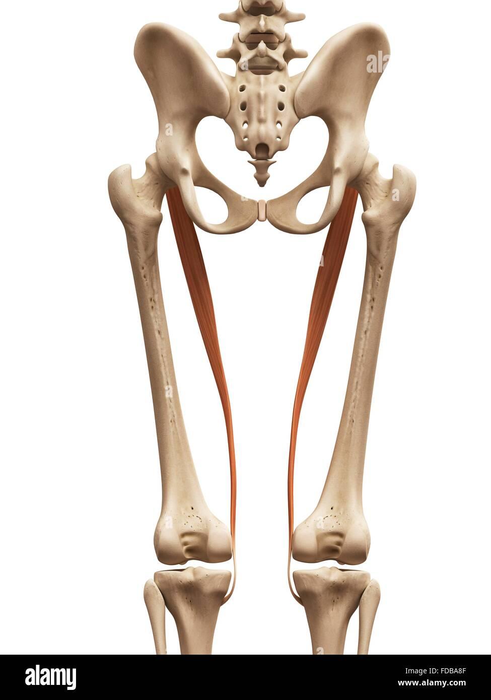 Fantastisch Leiste Anatomie Muskeln Galerie - Menschliche Anatomie ...