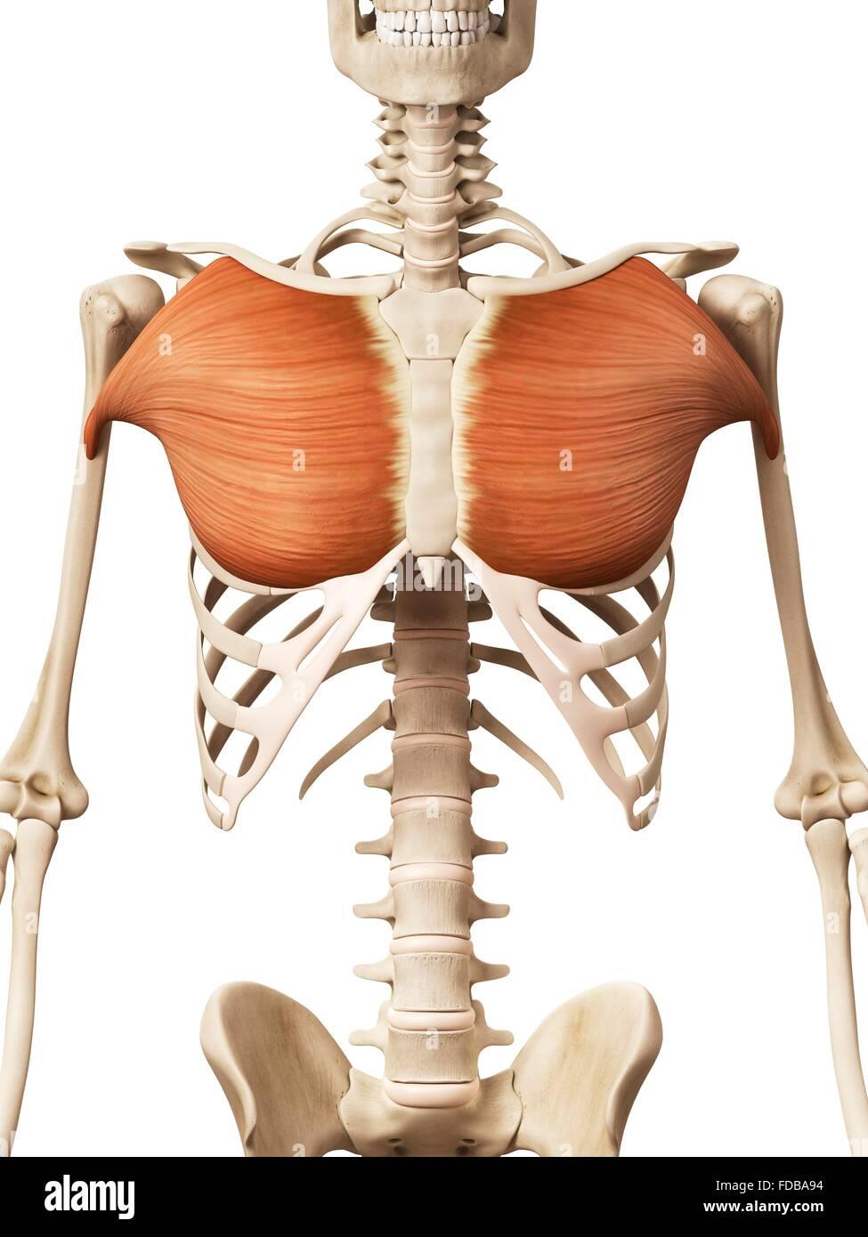 Menschlichen Brustmuskulatur (Pectoralis großen), Illustration ...