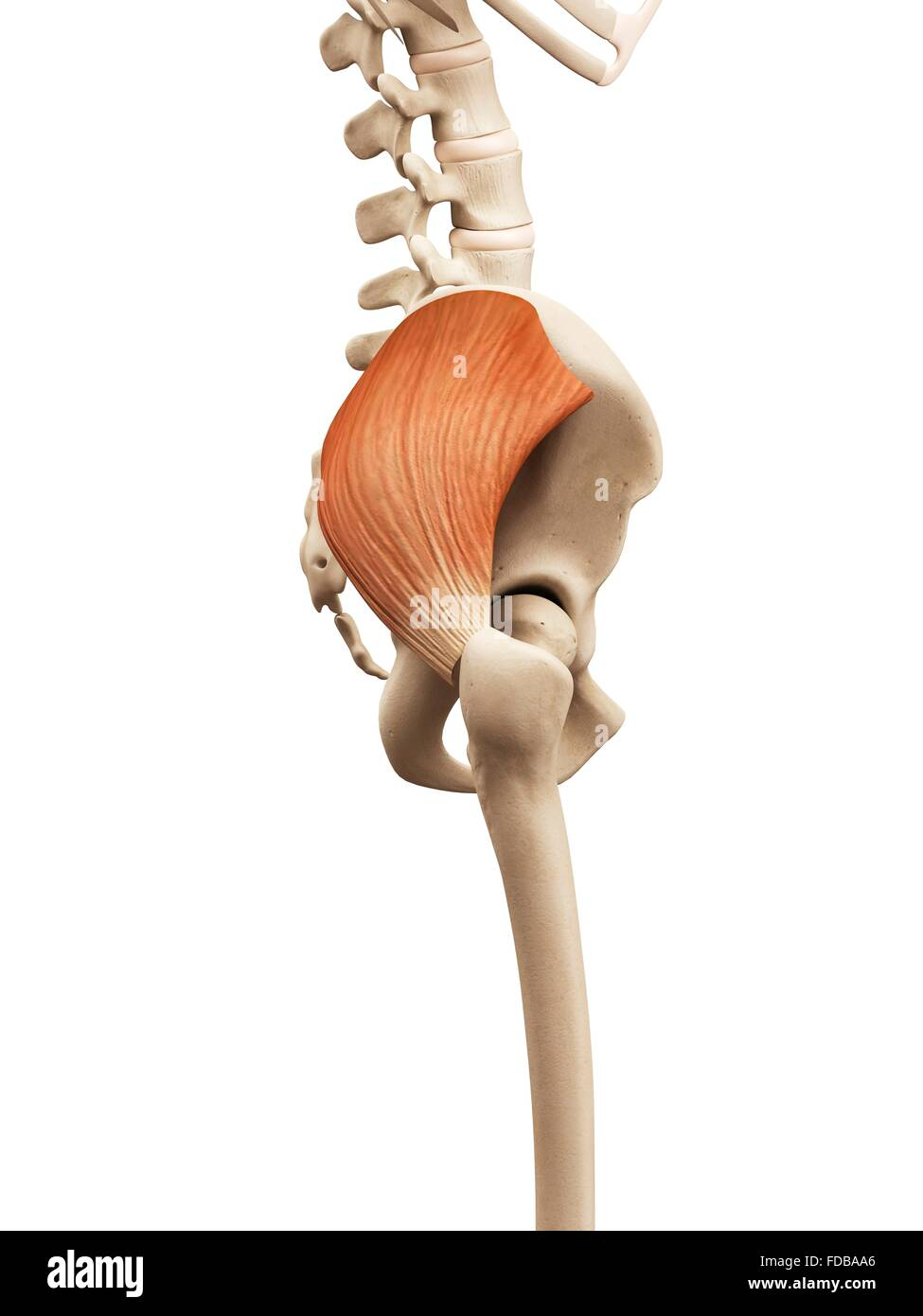Tolle Makroskopische Anatomie Des Muskulatur Antwortschlüssels ...
