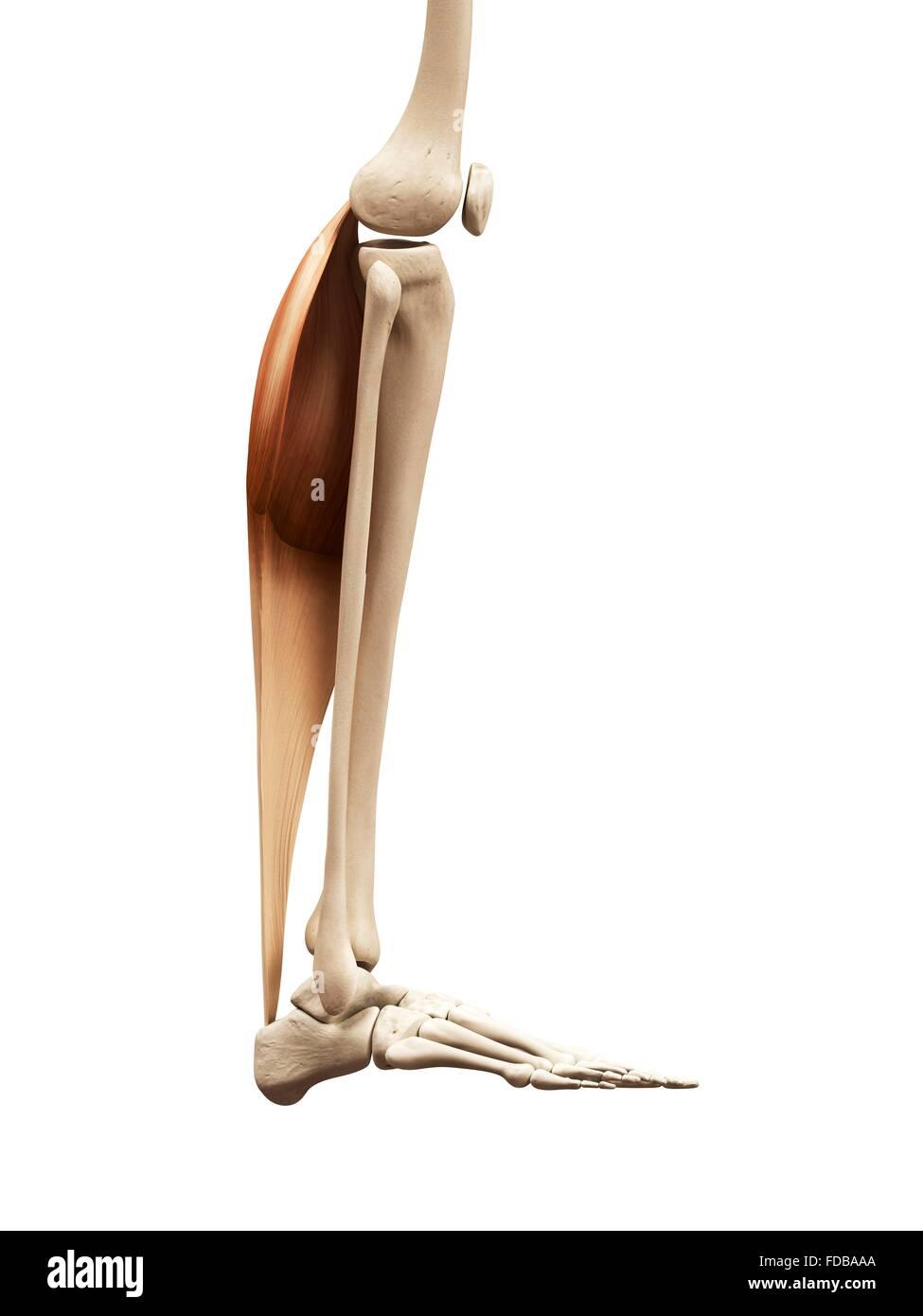 Schön Alle Beinmuskeln Bilder - Menschliche Anatomie Bilder ...