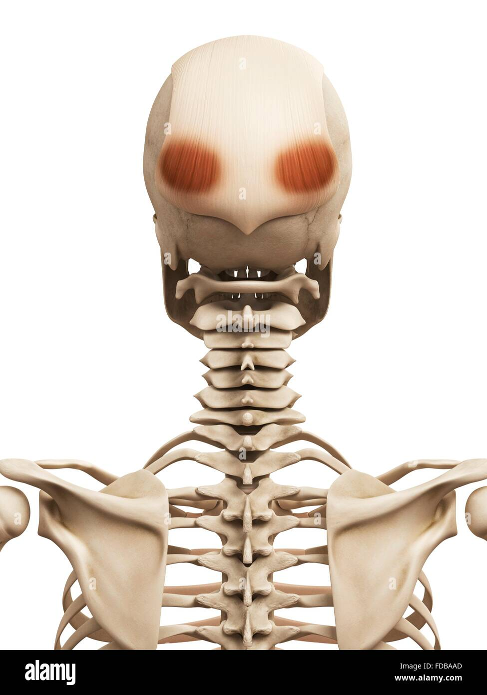 Berühmt Menschliche Muskelpartien Ideen - Anatomie Ideen - finotti.info