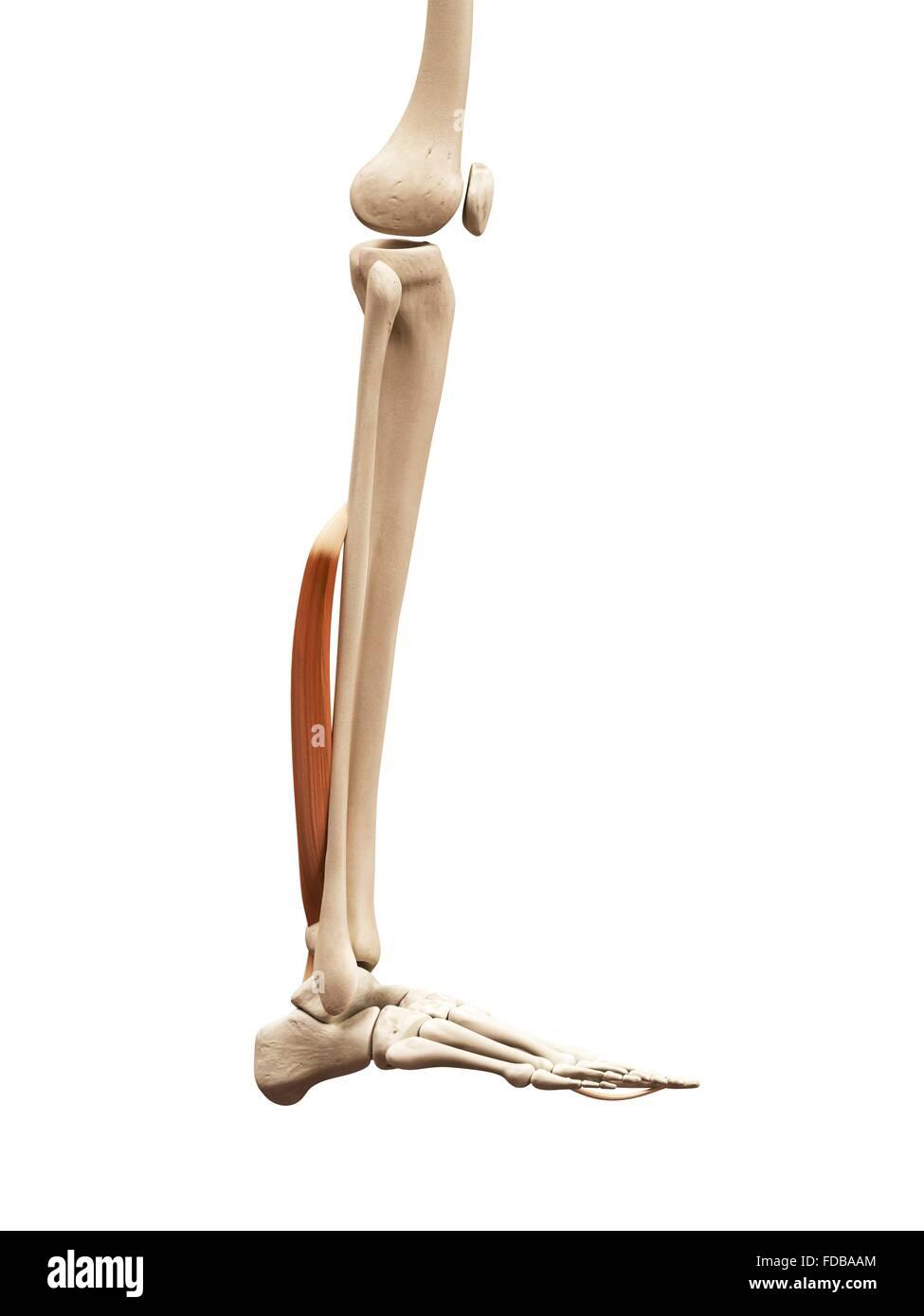 Nett Menschliche Anatomie Beinmuskeln Ideen - Anatomie Ideen ...