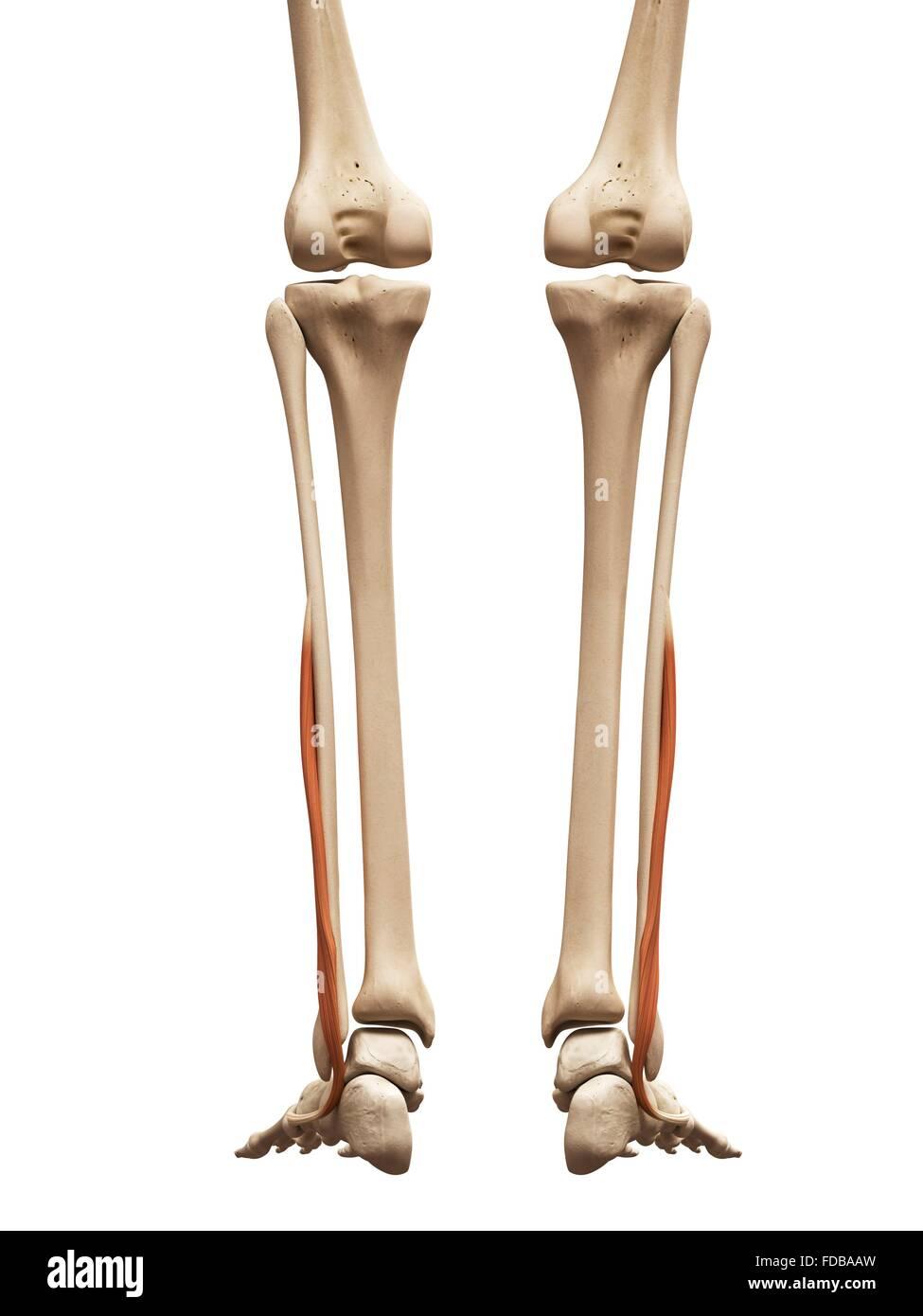 Berühmt Linke Beinmuskeln Ideen - Anatomie Von Menschlichen ...
