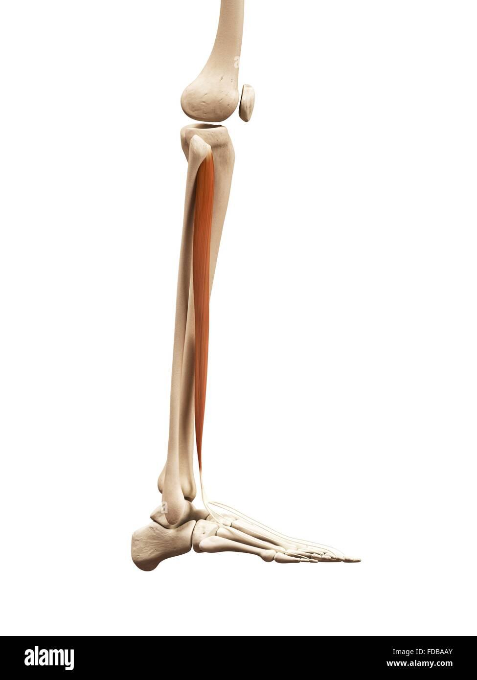 Tolle Menschliches Bein Anatomie Zeitgenössisch - Anatomie Von ...
