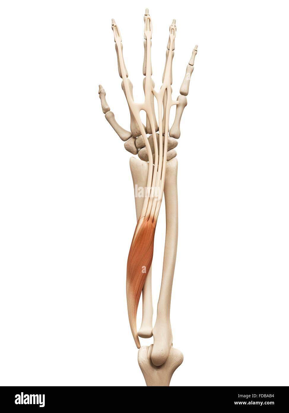 Menschlicher Arm Muskel (Beinstrecker m.digitorum), Illustration ...