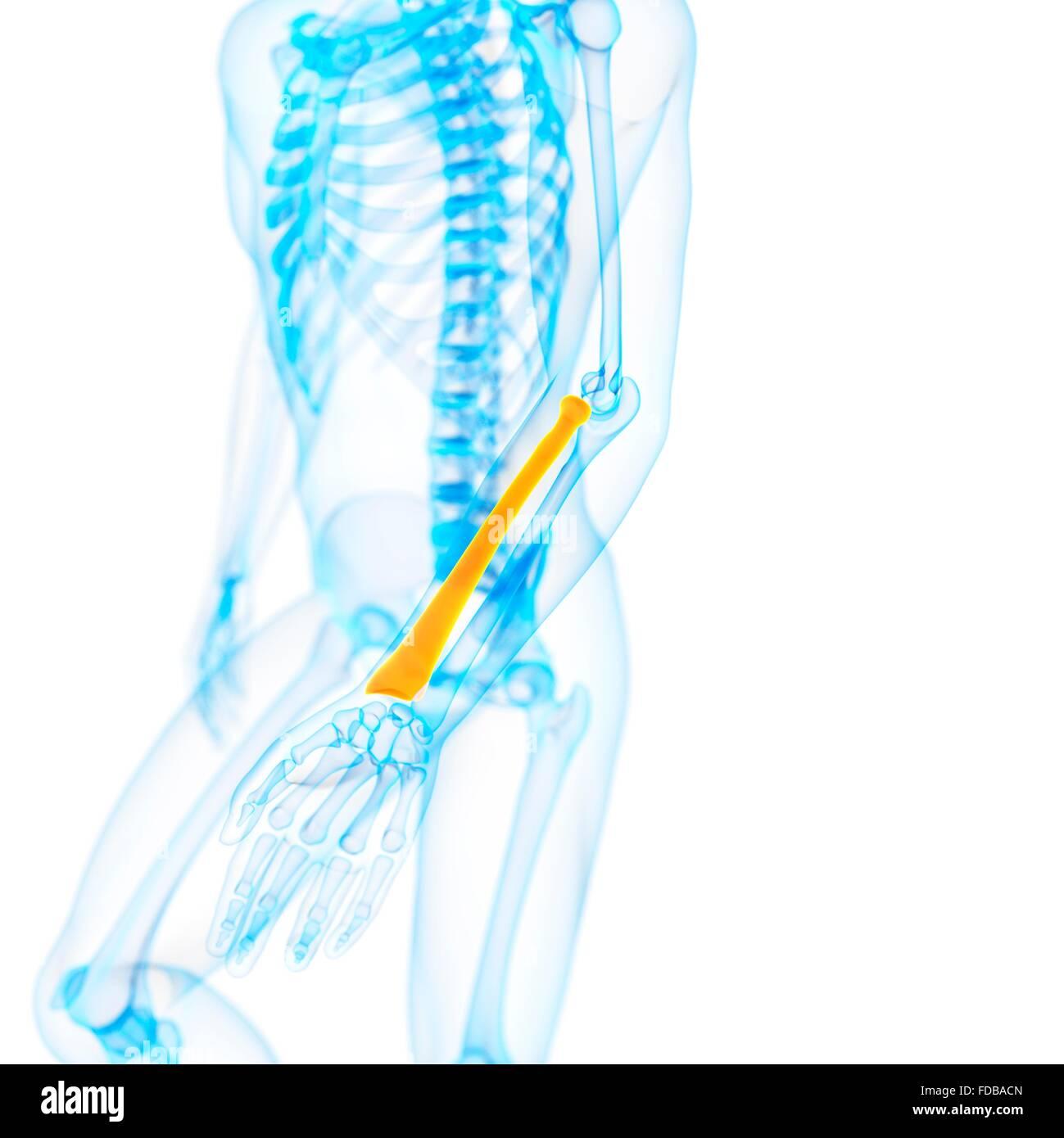 Lower Arm Bone Stockfotos & Lower Arm Bone Bilder - Alamy