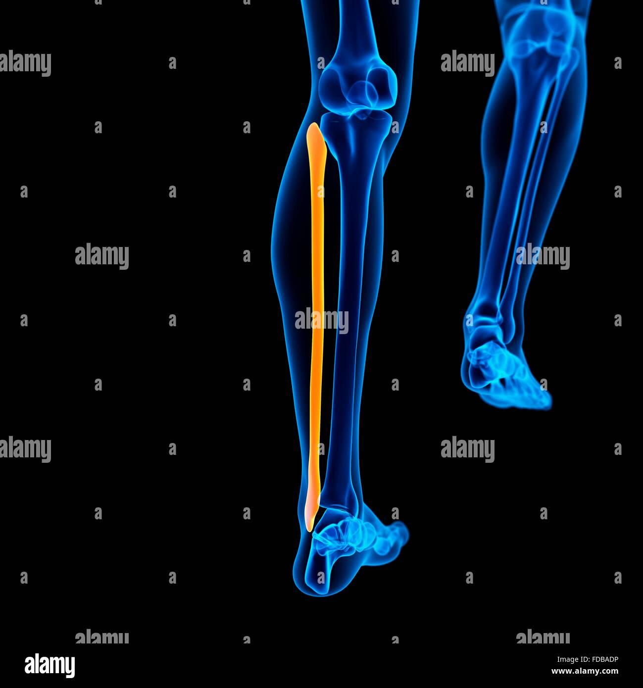 Menschlichen Wadenbein (Bein) Knochen, Abbildung Stockfoto, Bild ...