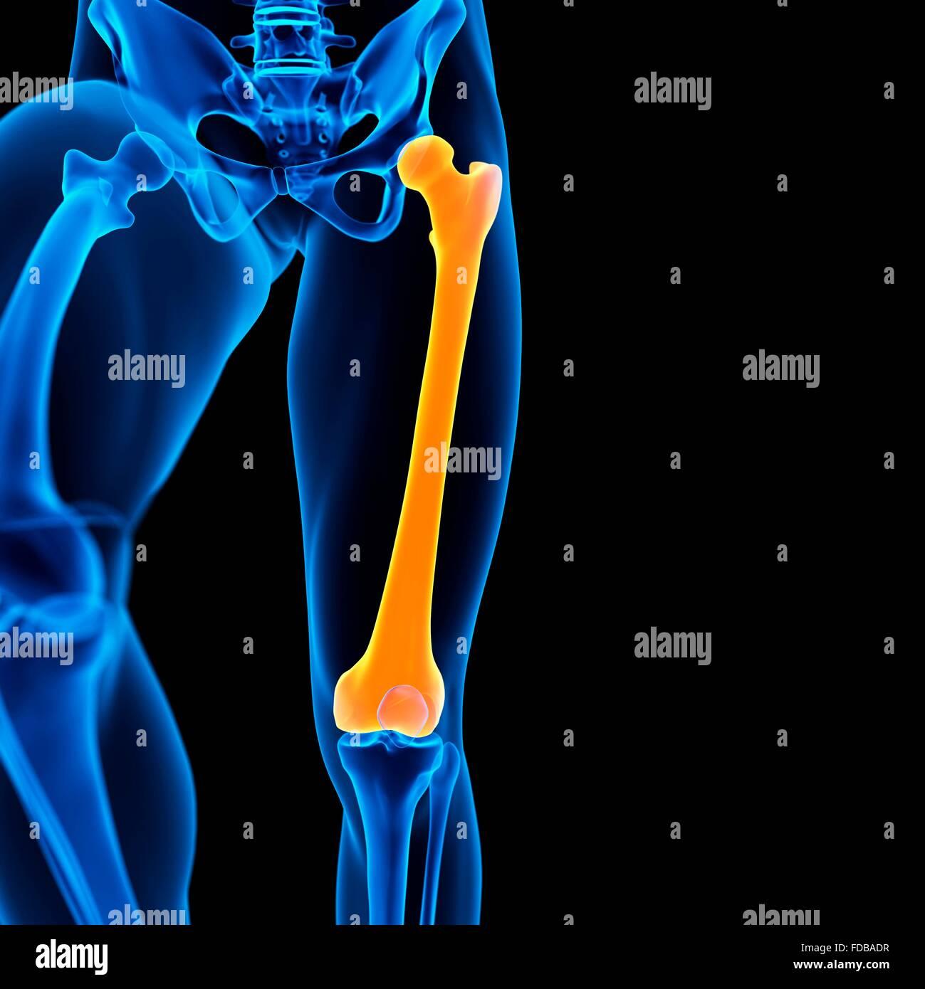 Menschlichen Femur (Oberschenkel) Knochen, Abbildung Stockfoto, Bild ...