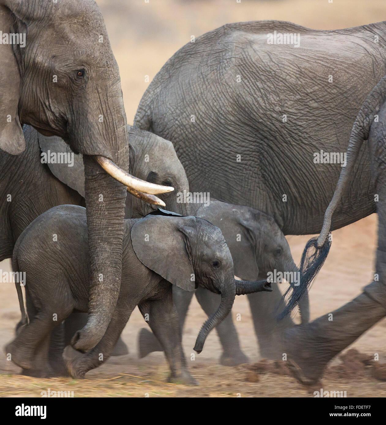 Nahaufnahme eines Baby-Elefanten zu Fuß mitten in einer Zucht-Herde in Bewegung, Stockbild