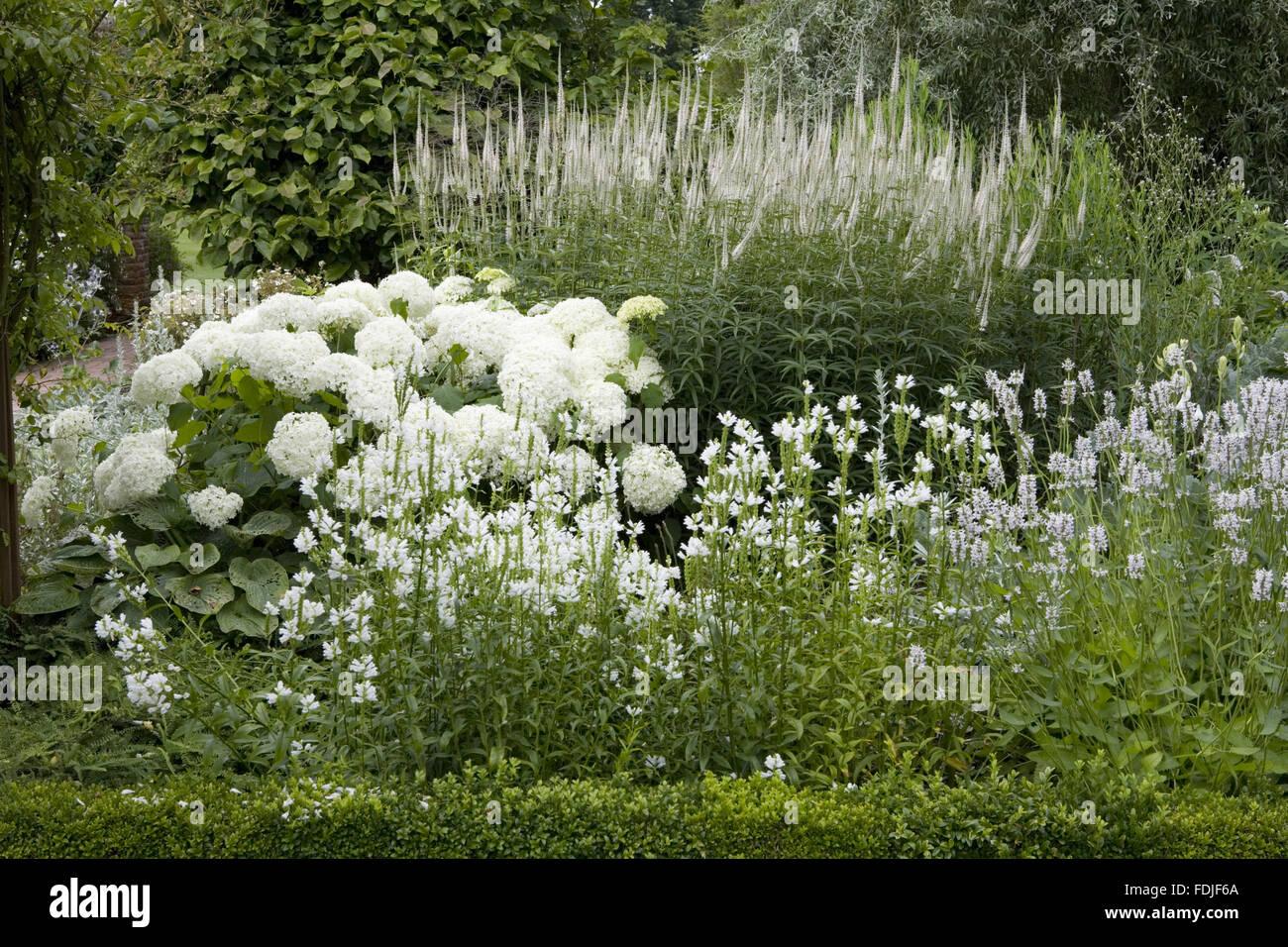 Weißer Garten Sissinghurst physostegia virginiana alba hortensie annabelle und
