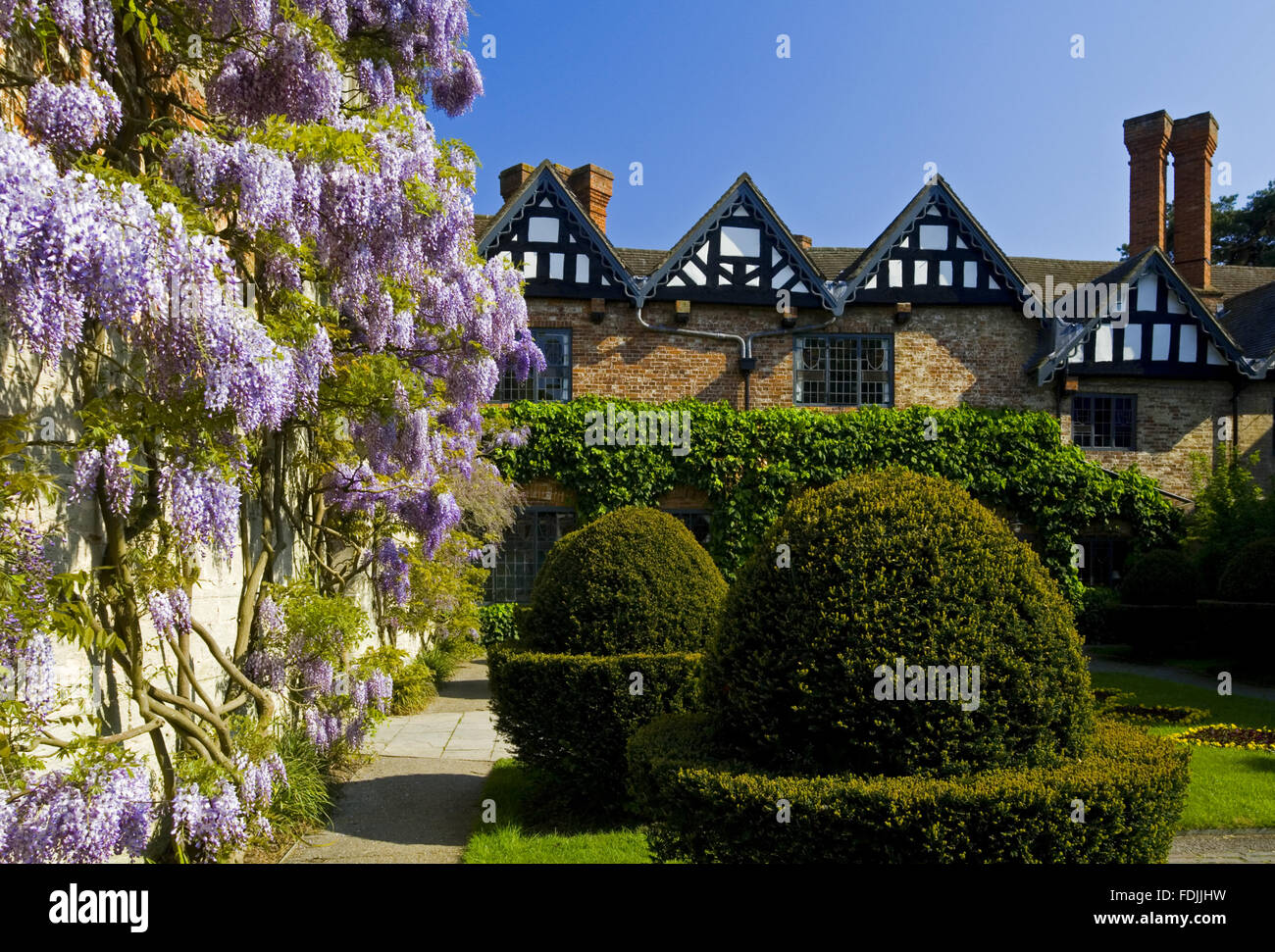 Formschnitt und Glyzinien im Hof im Mai um Baddesley Clinton, Warwickshire. Stockfoto