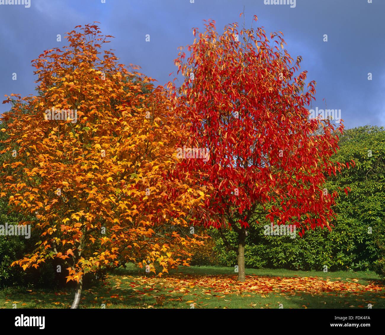 Fantastisch Ahornbaum Färbung Seite Fotos - Malvorlagen Ideen ...