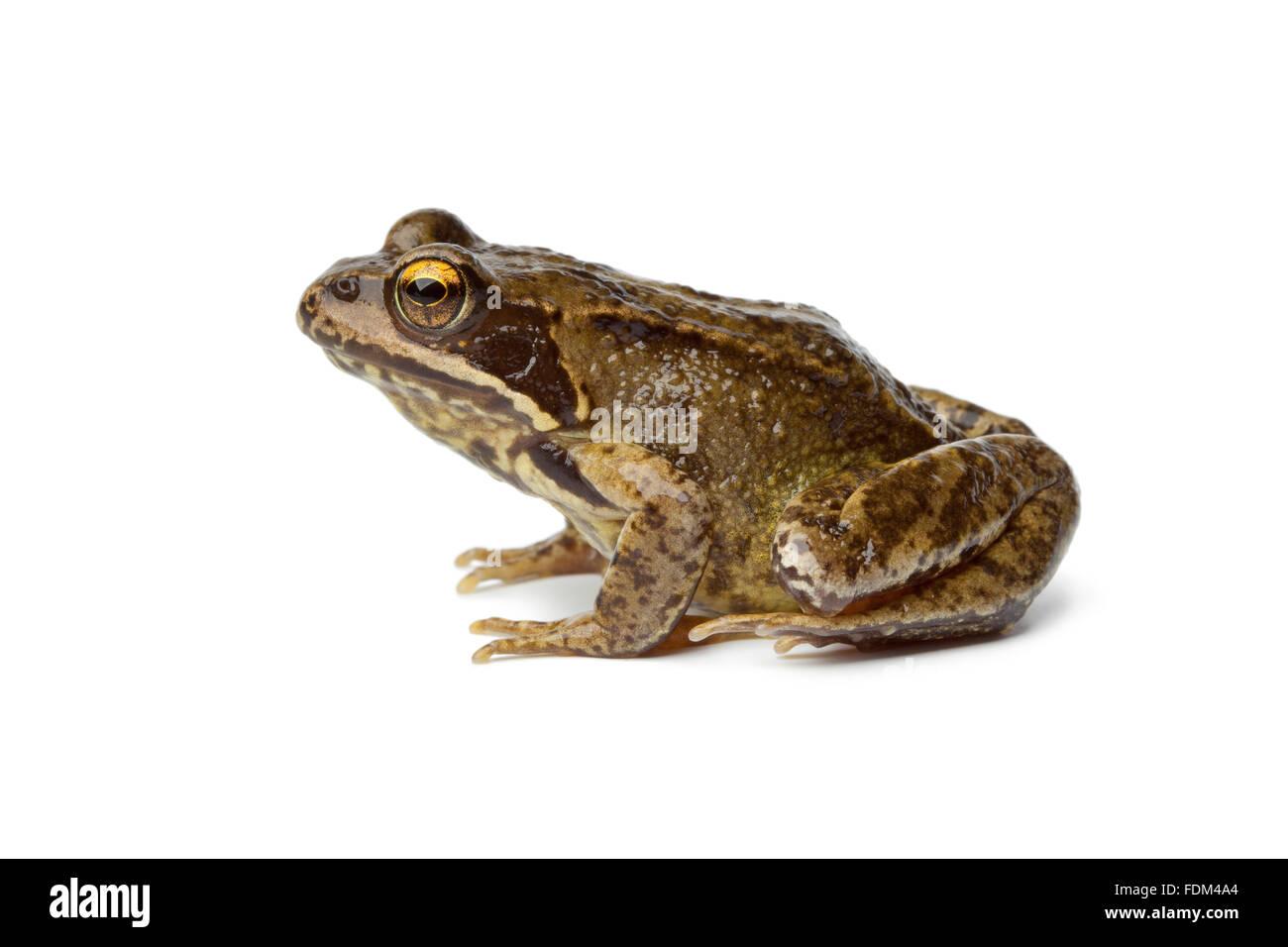 Grasfrosch auf weißem Hintergrund Stockbild