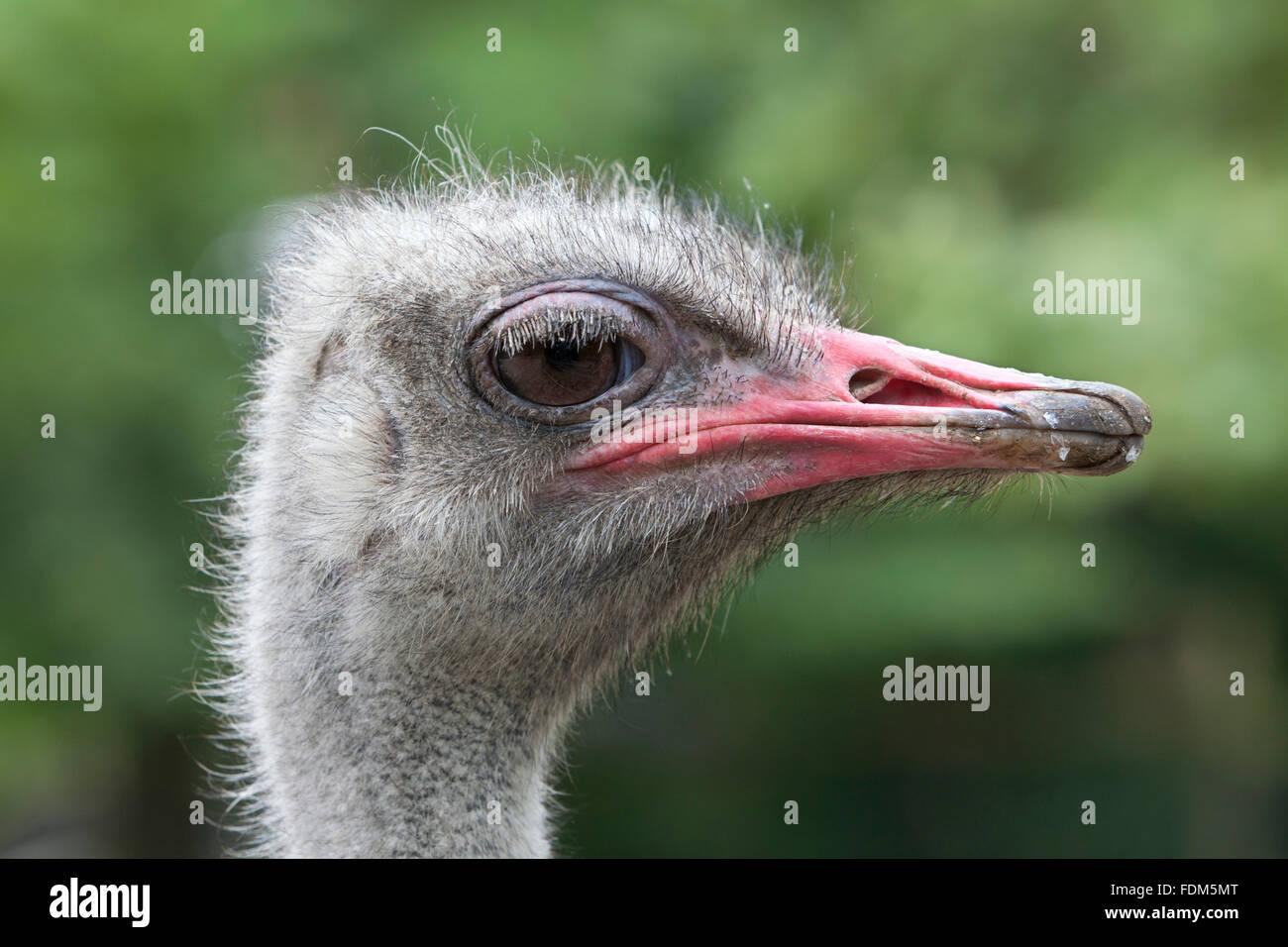 Vogel Strauß Kopf En Profil hautnah Stockbild